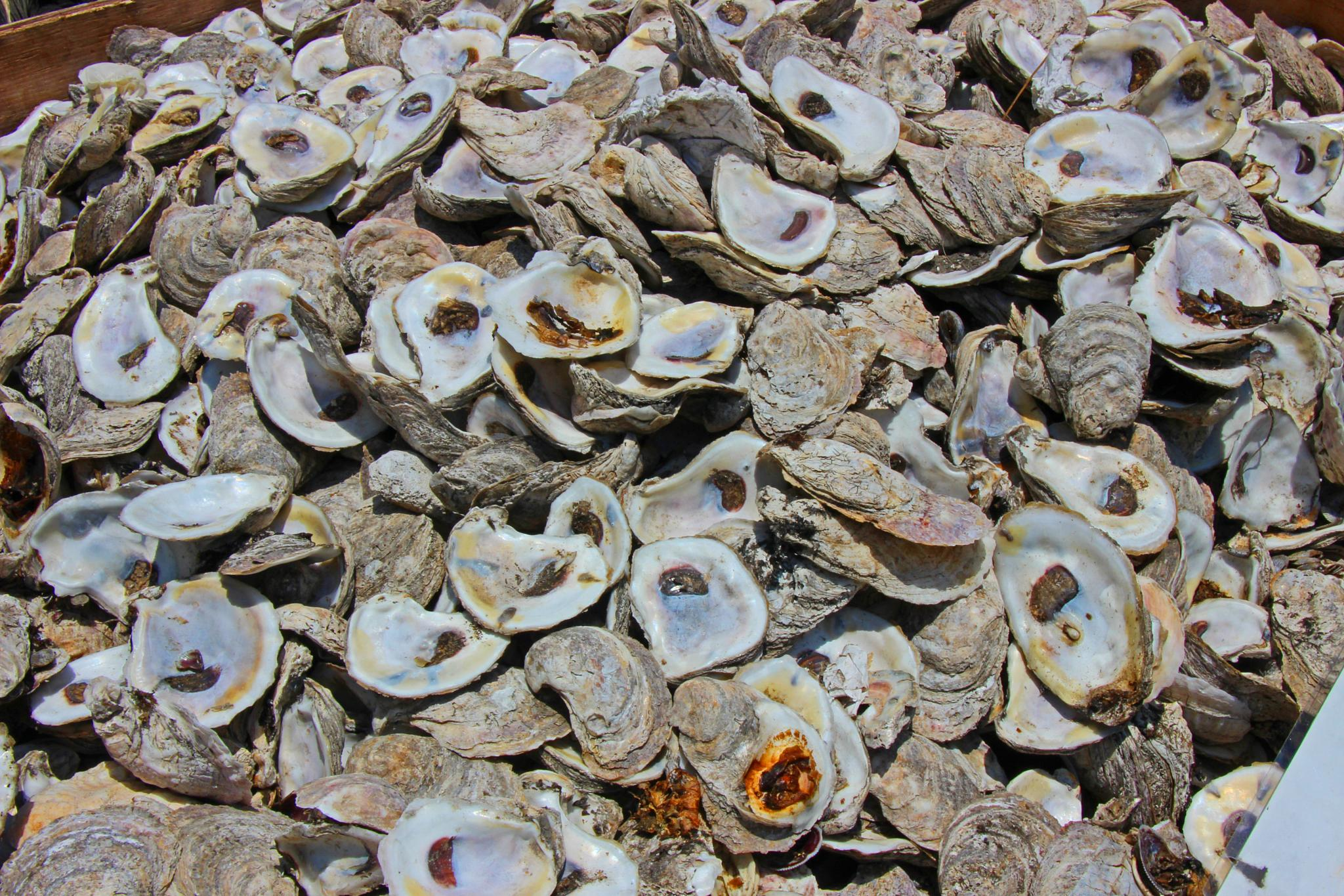Photo in Macro #oystershells #oysters #livingshoreline #nature #macro #abstract