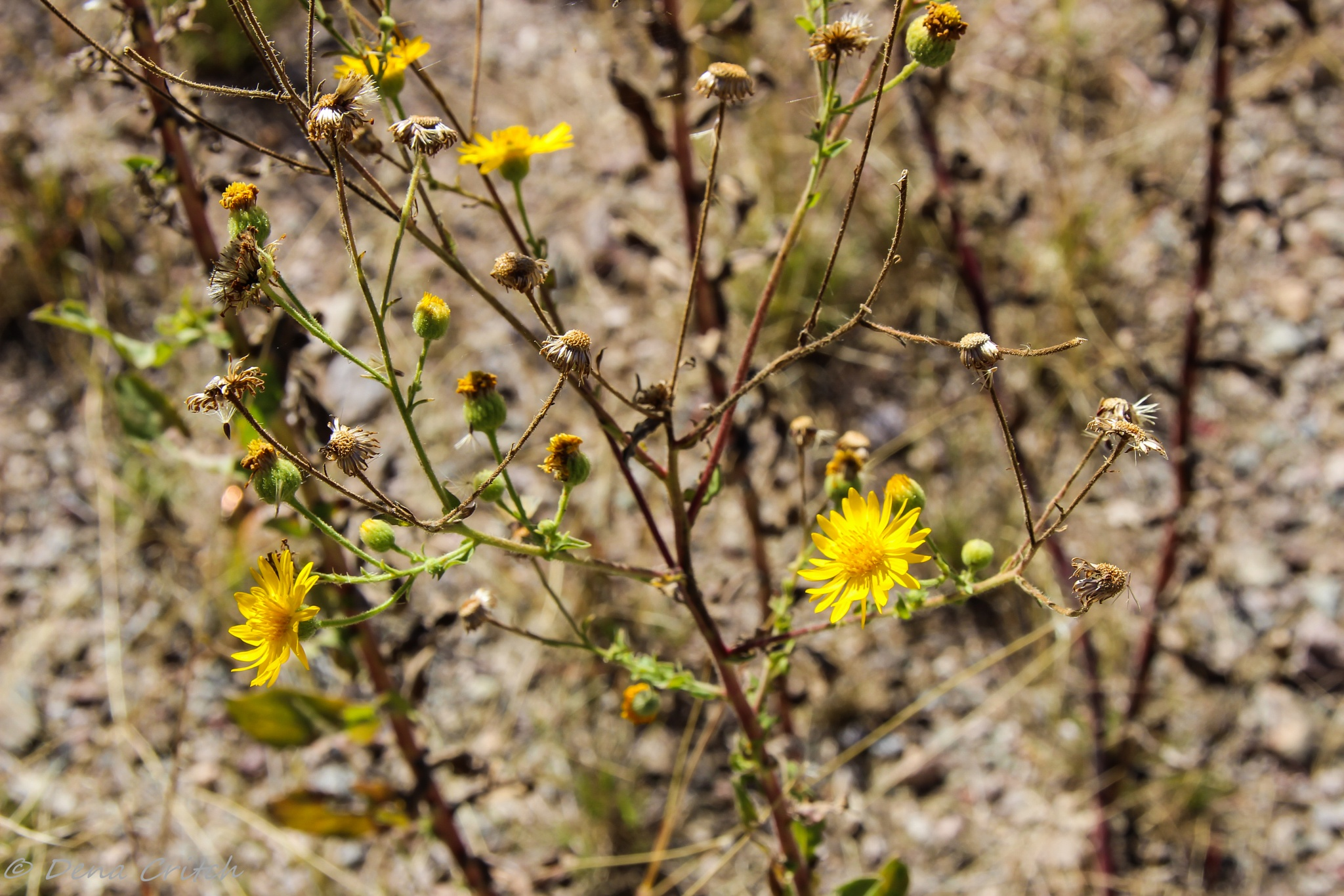 Desert Flower by dena.critch
