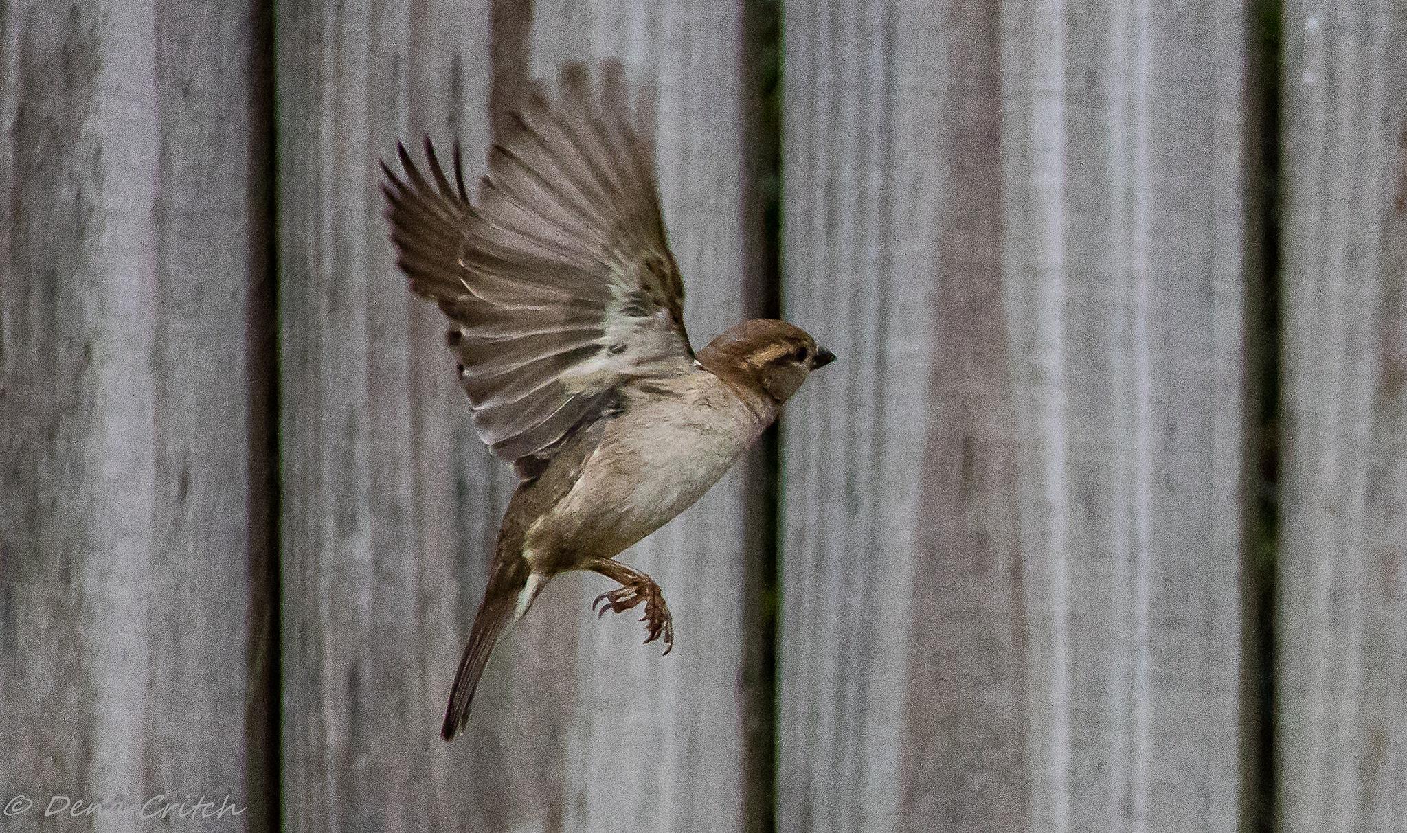 Flight of a Sparrow by dena.critch
