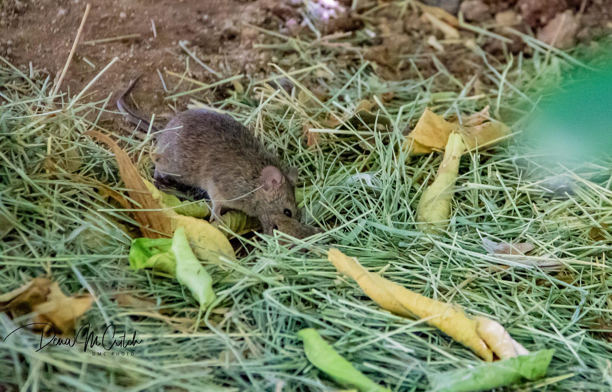 Photo in Nature #mice #animal #pest #nature #wildlife #thingsyousee #inmyyard #wonders #random