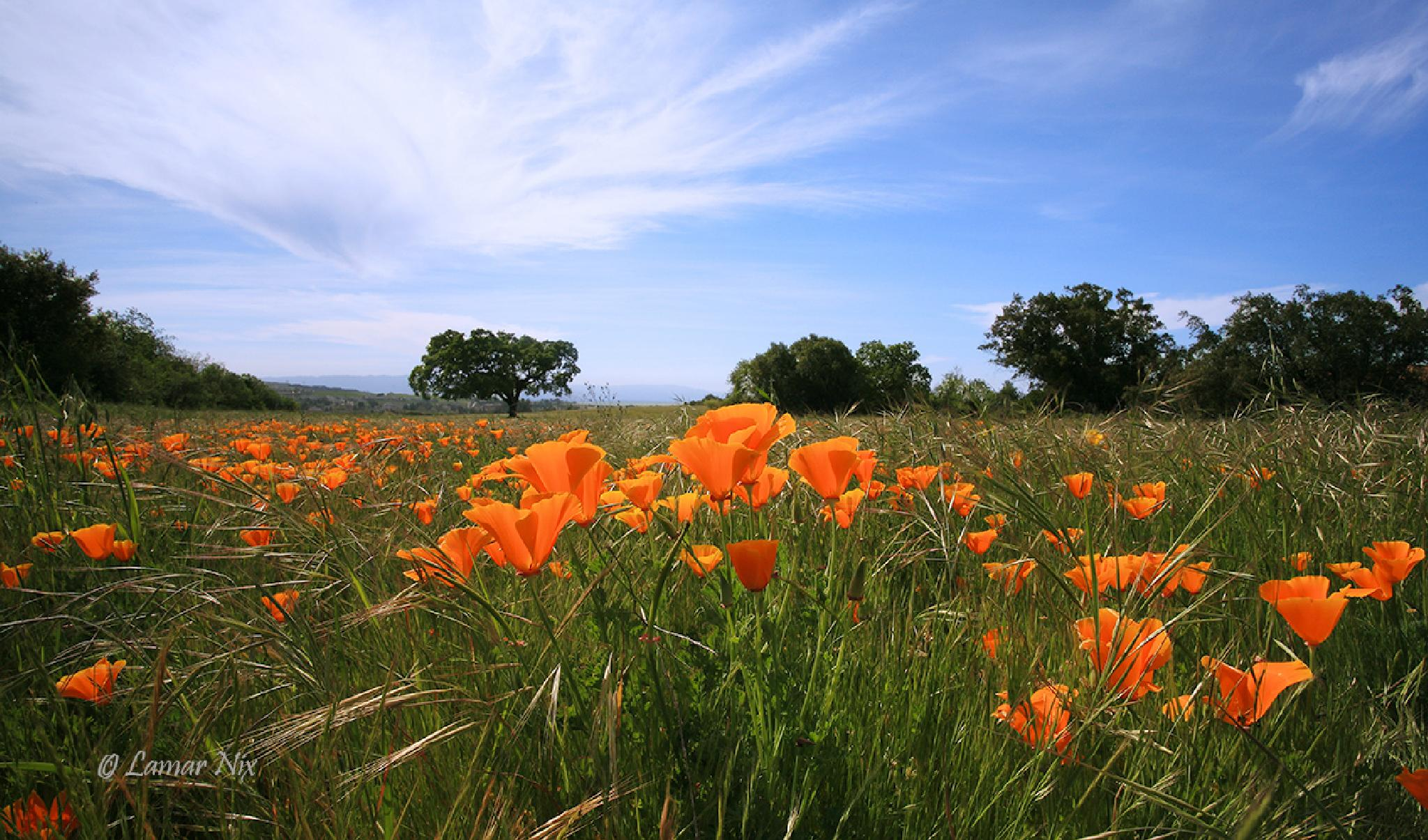 Poppy Field by Lamar Nix