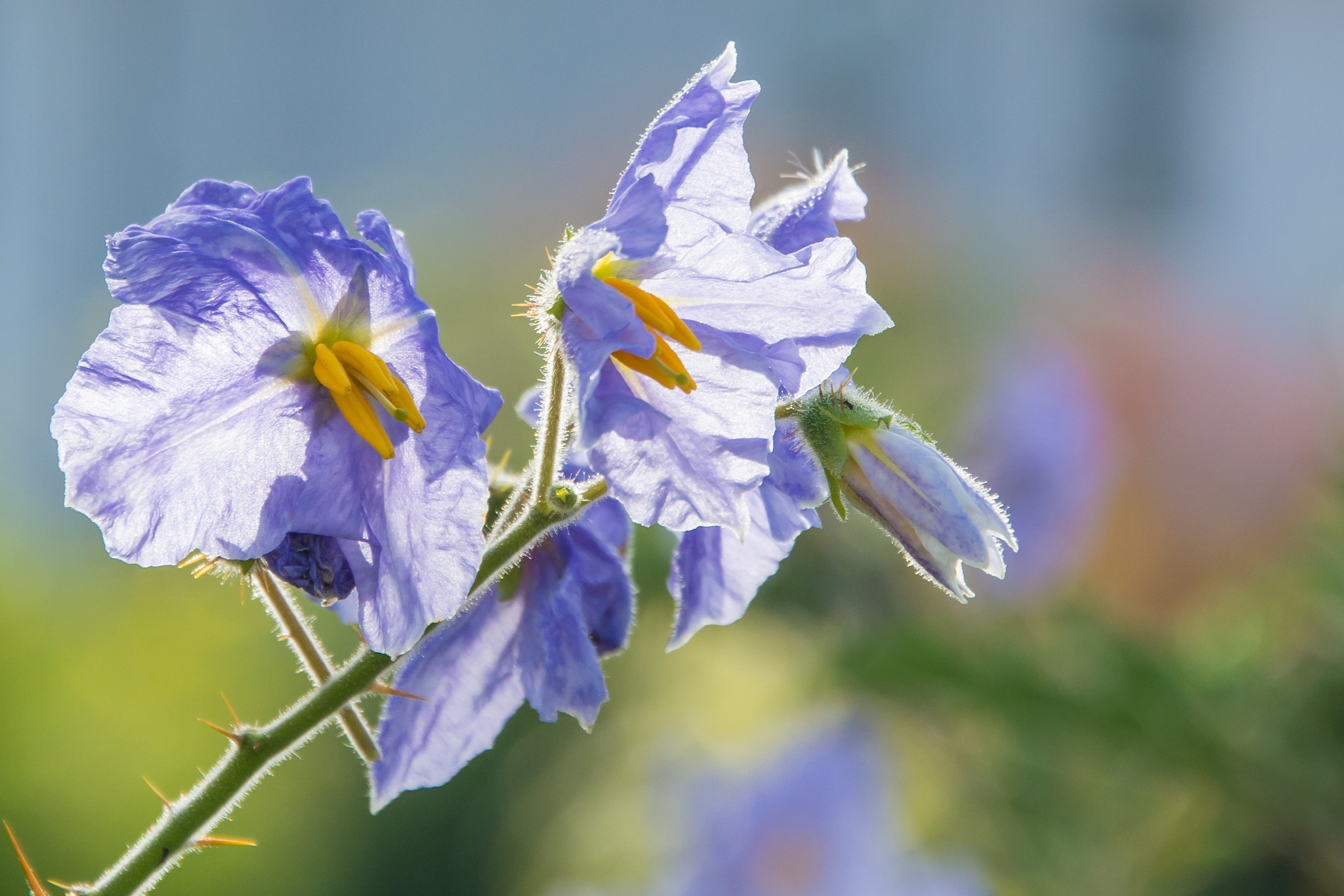 Solanum sisymbriifolium by ulrikefelkel