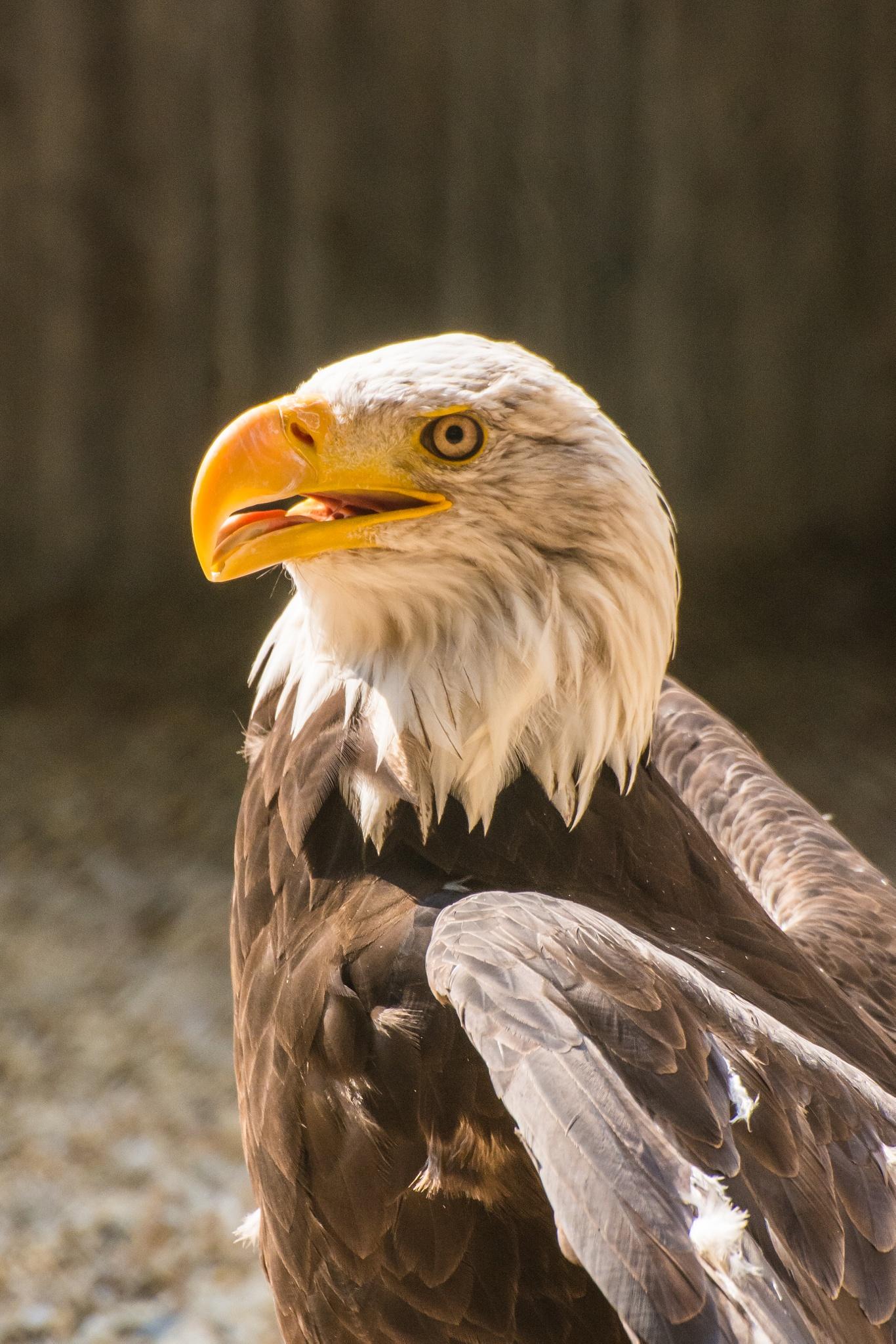 bald eagle by ulrikefelkel