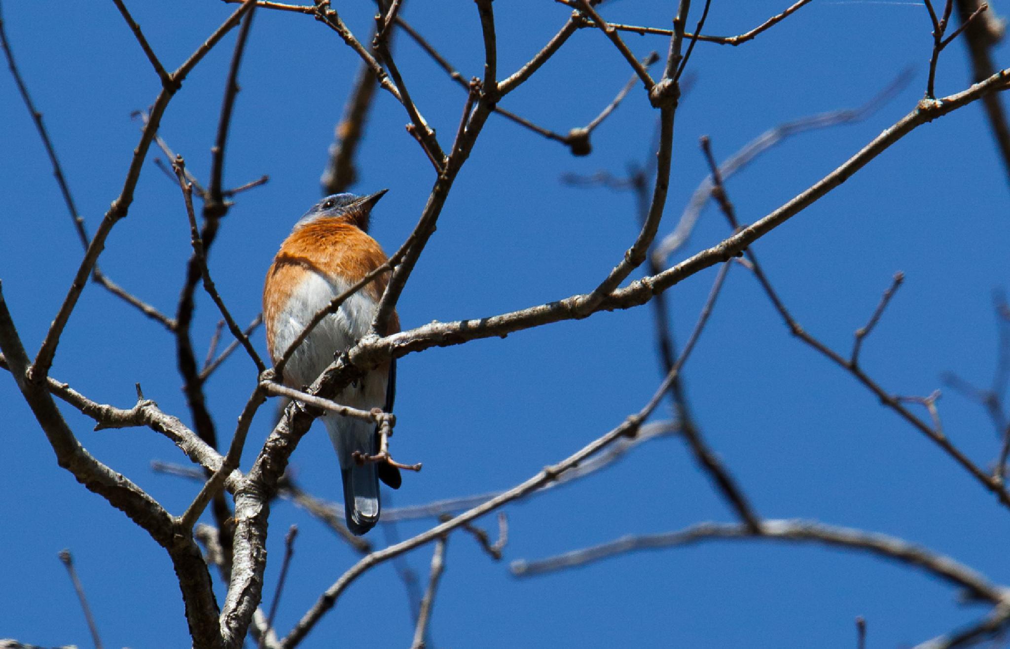 Bluebird 2 by Gene Linzy