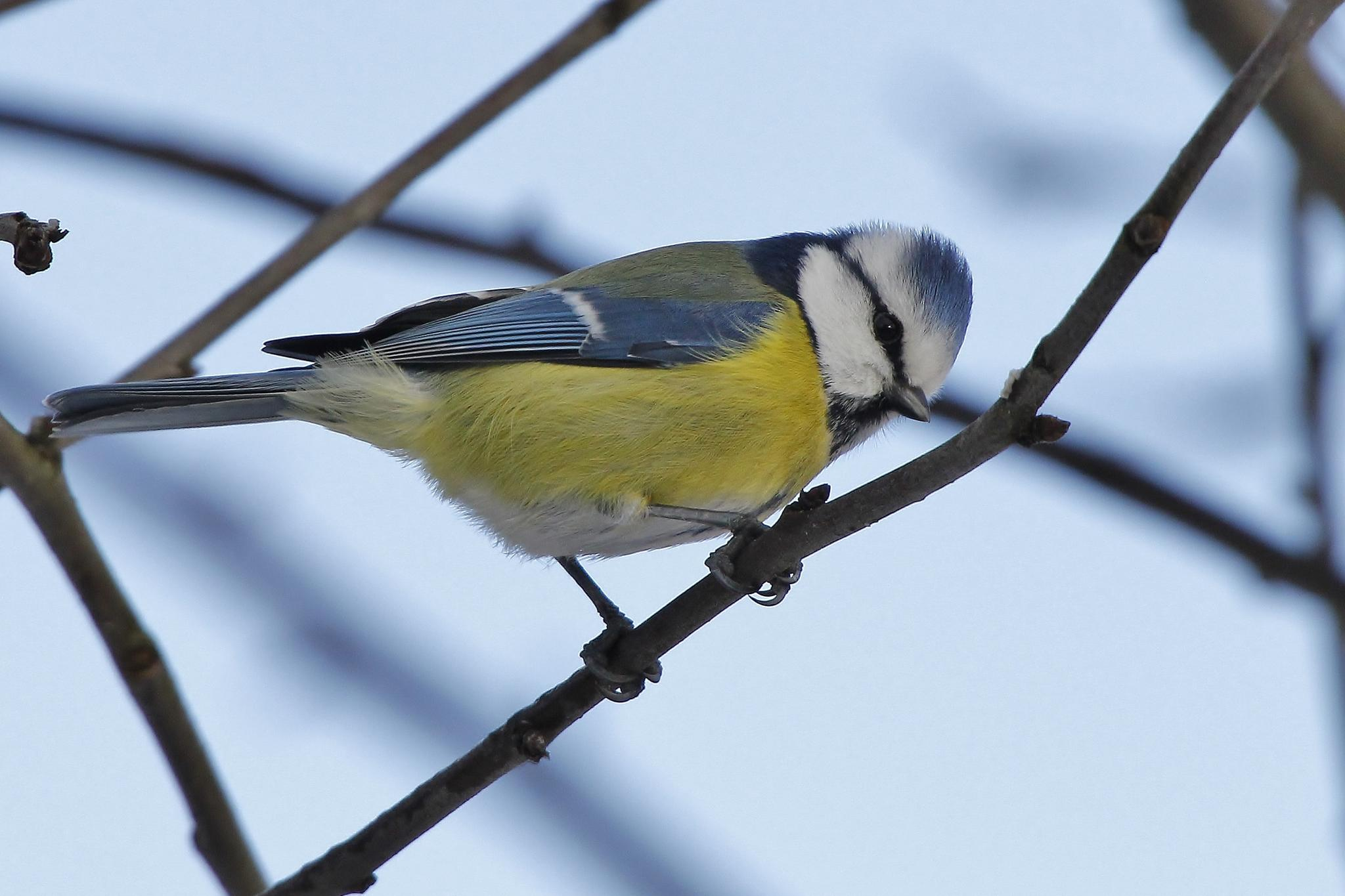 Blue Tit   2015-02-07 by Anders Pettersson