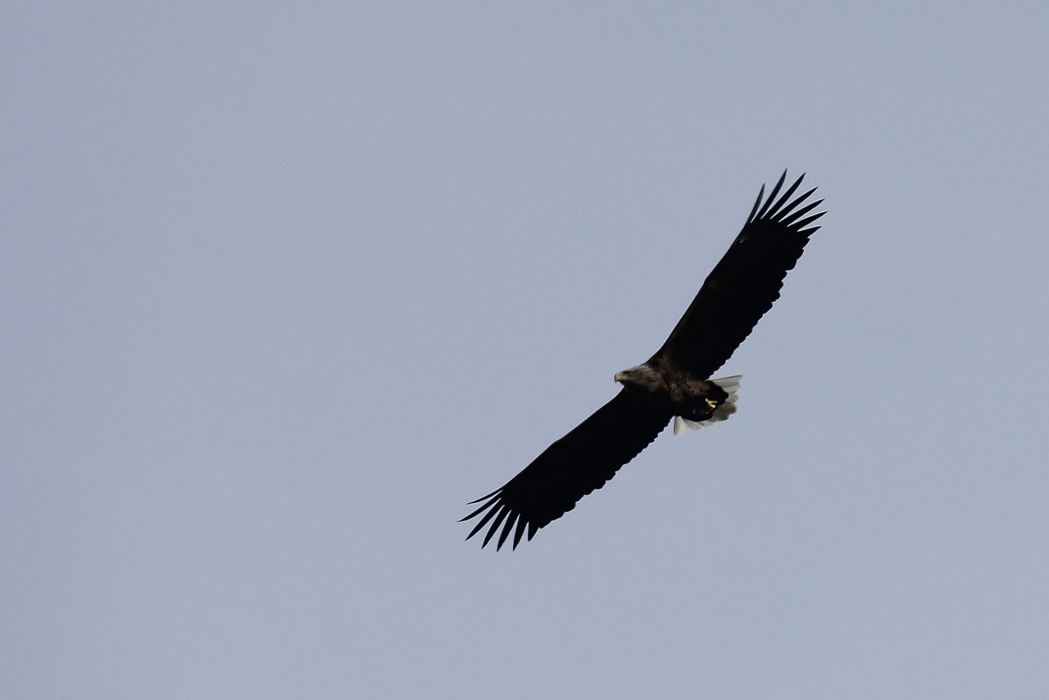 Eagle in Sweden  2015-04-11 by Anders Pettersson