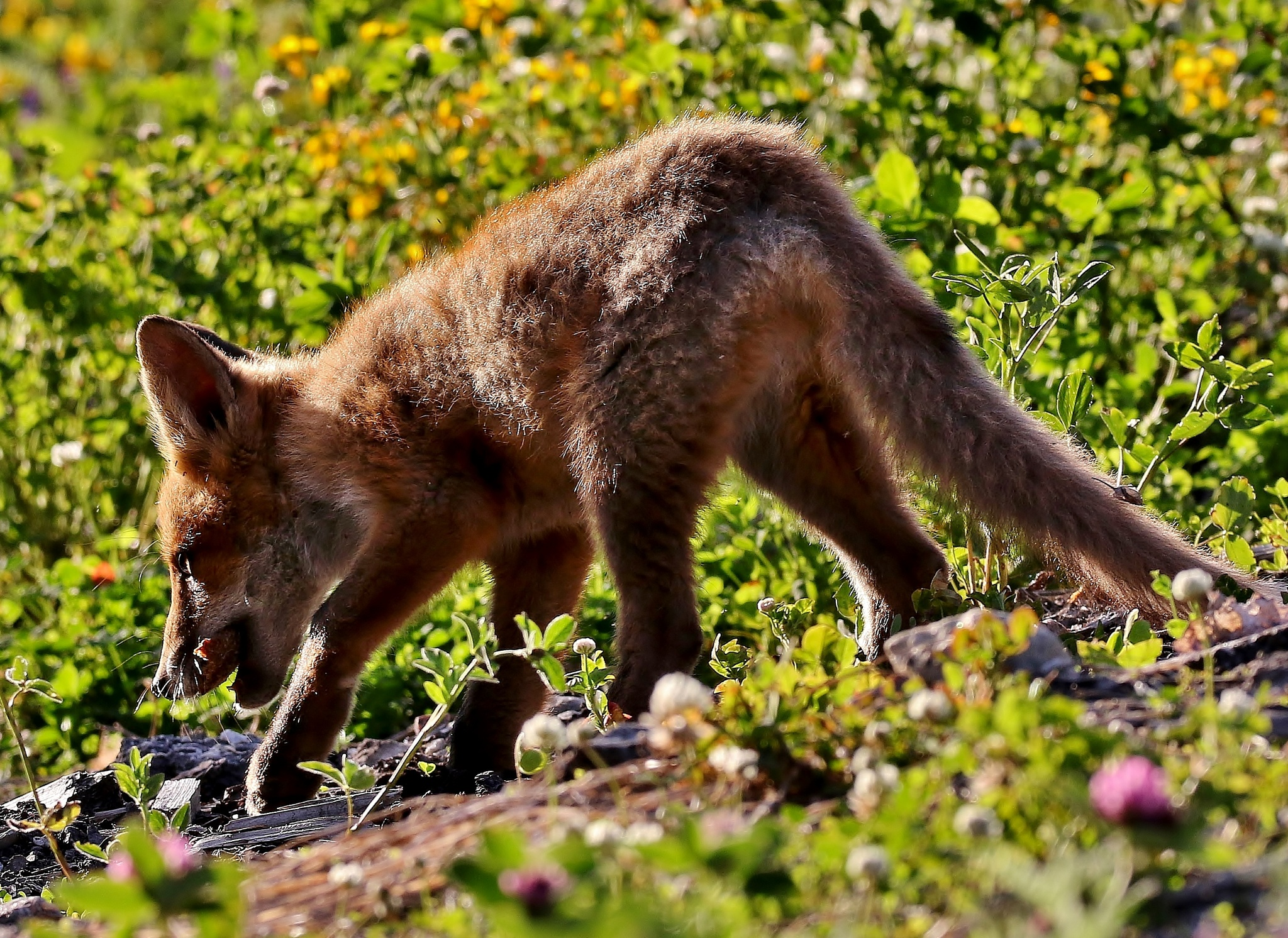 young fox by Anders Pettersson
