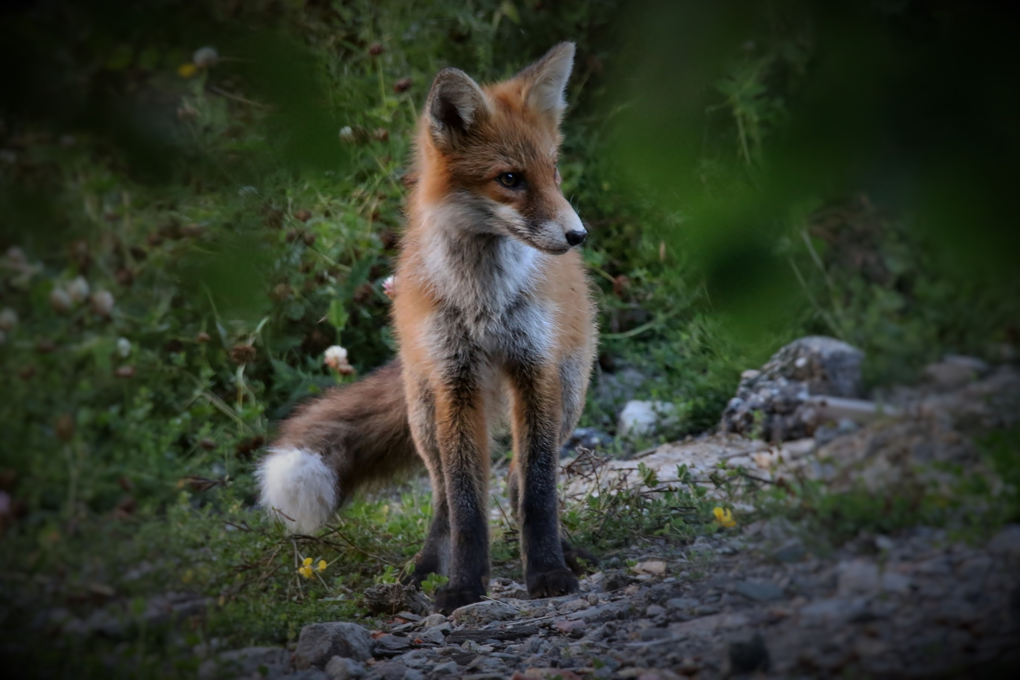 fox by Anders Pettersson