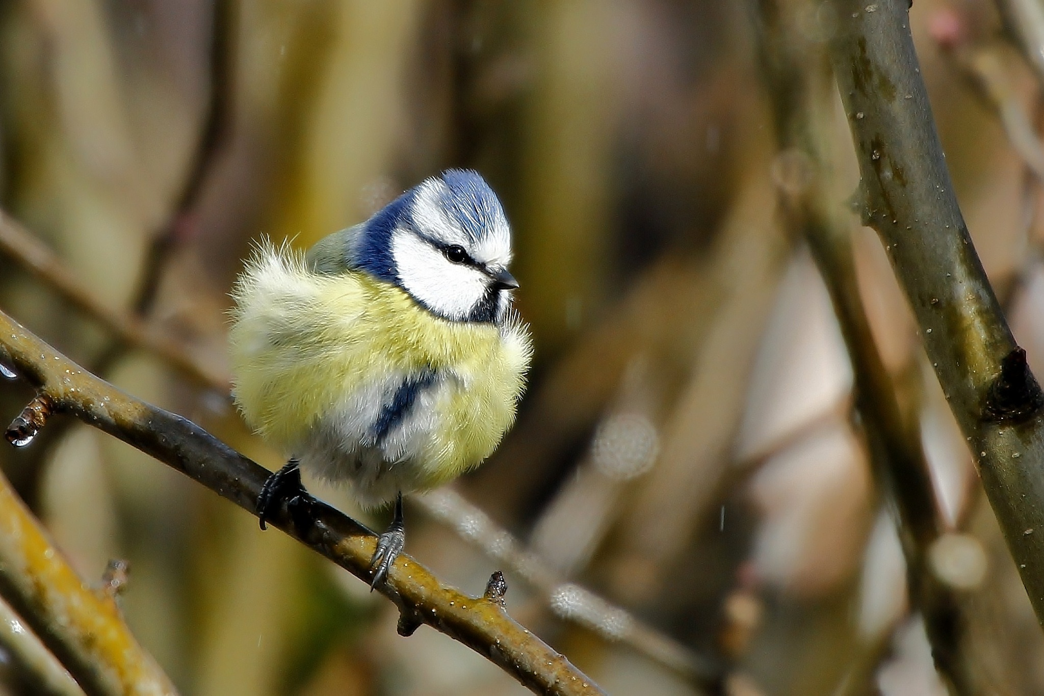 Blue Tit by Anders Pettersson