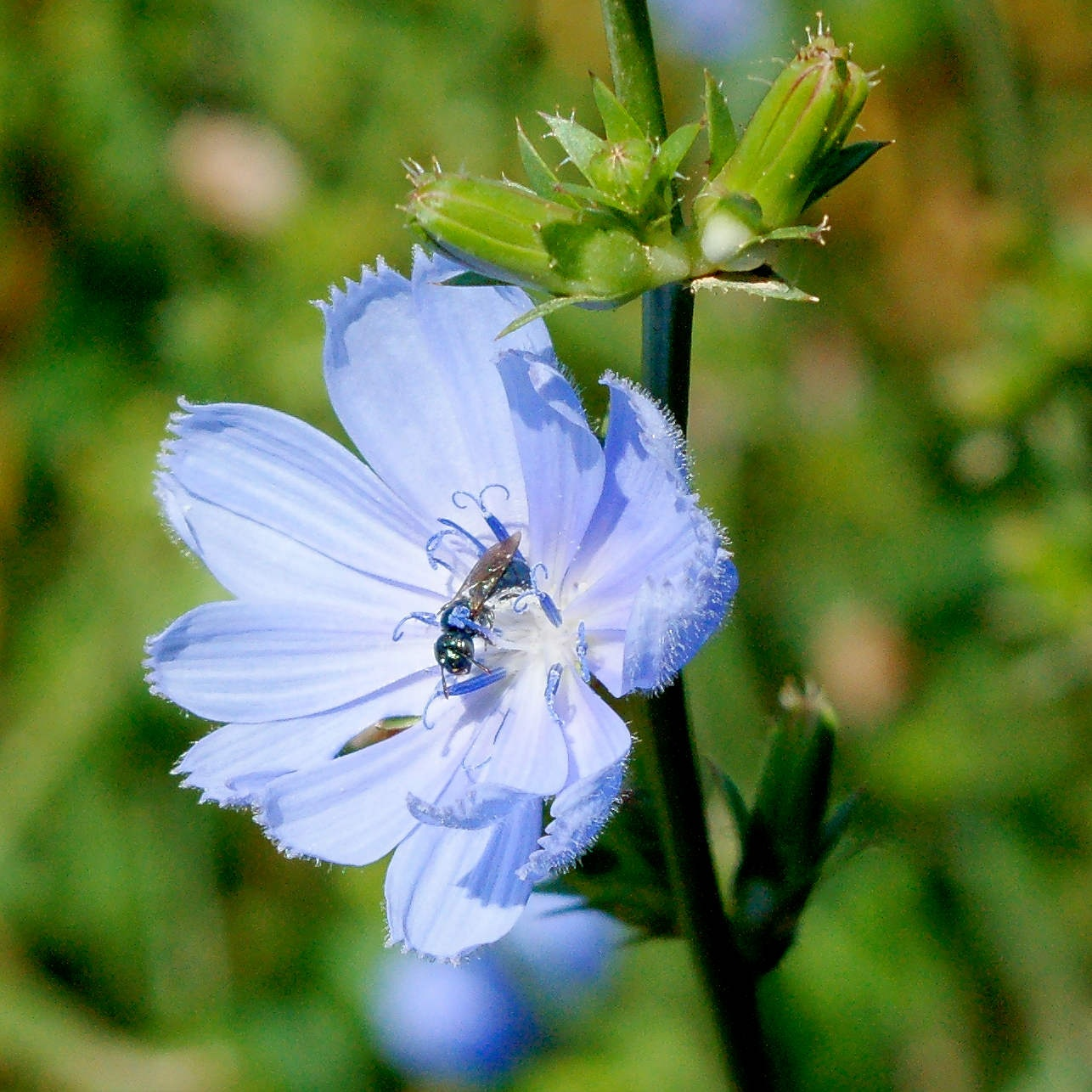 blue wildflower with visitor by Jim Camp