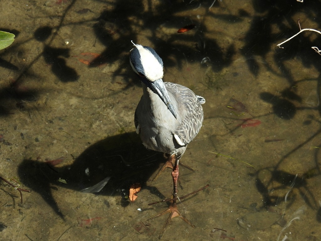 Night Heron by pagstar