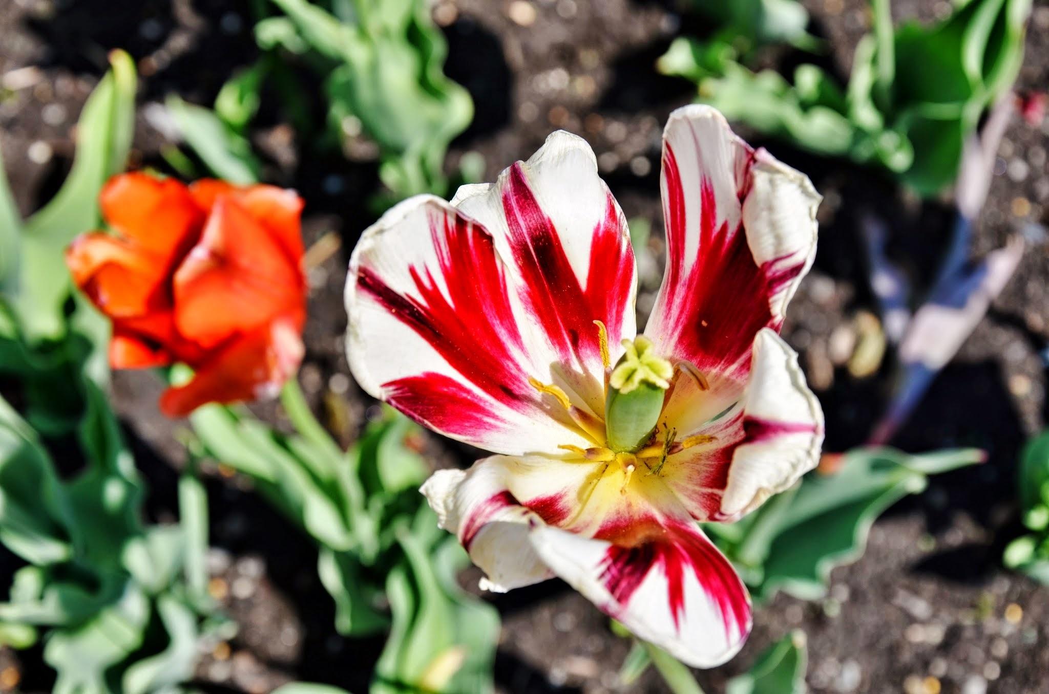 Au cœur d'une tulipe by real.michaud.5036
