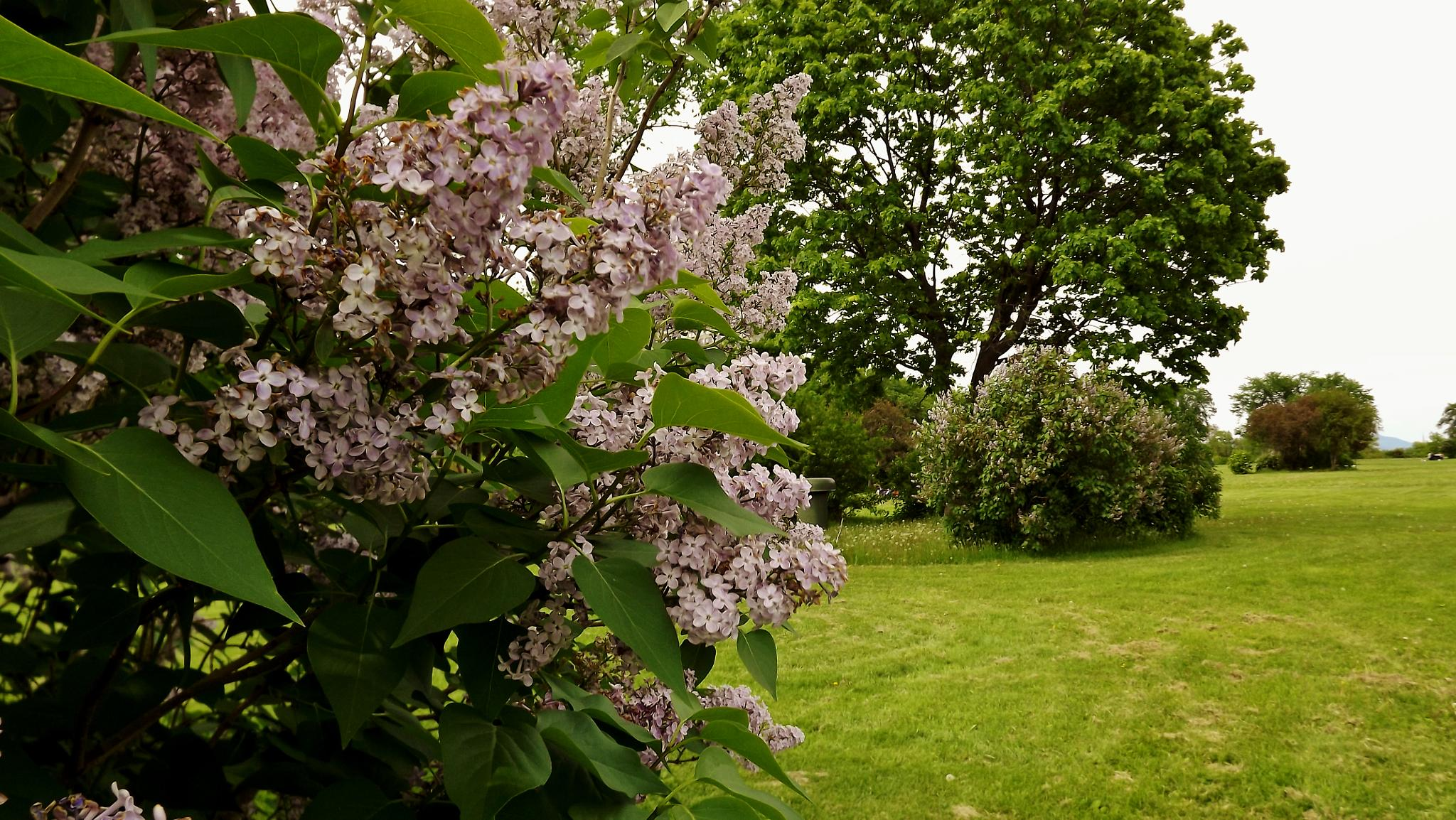 Lilas & flowers trees Plaines d'Abraham by real.michaud.5036