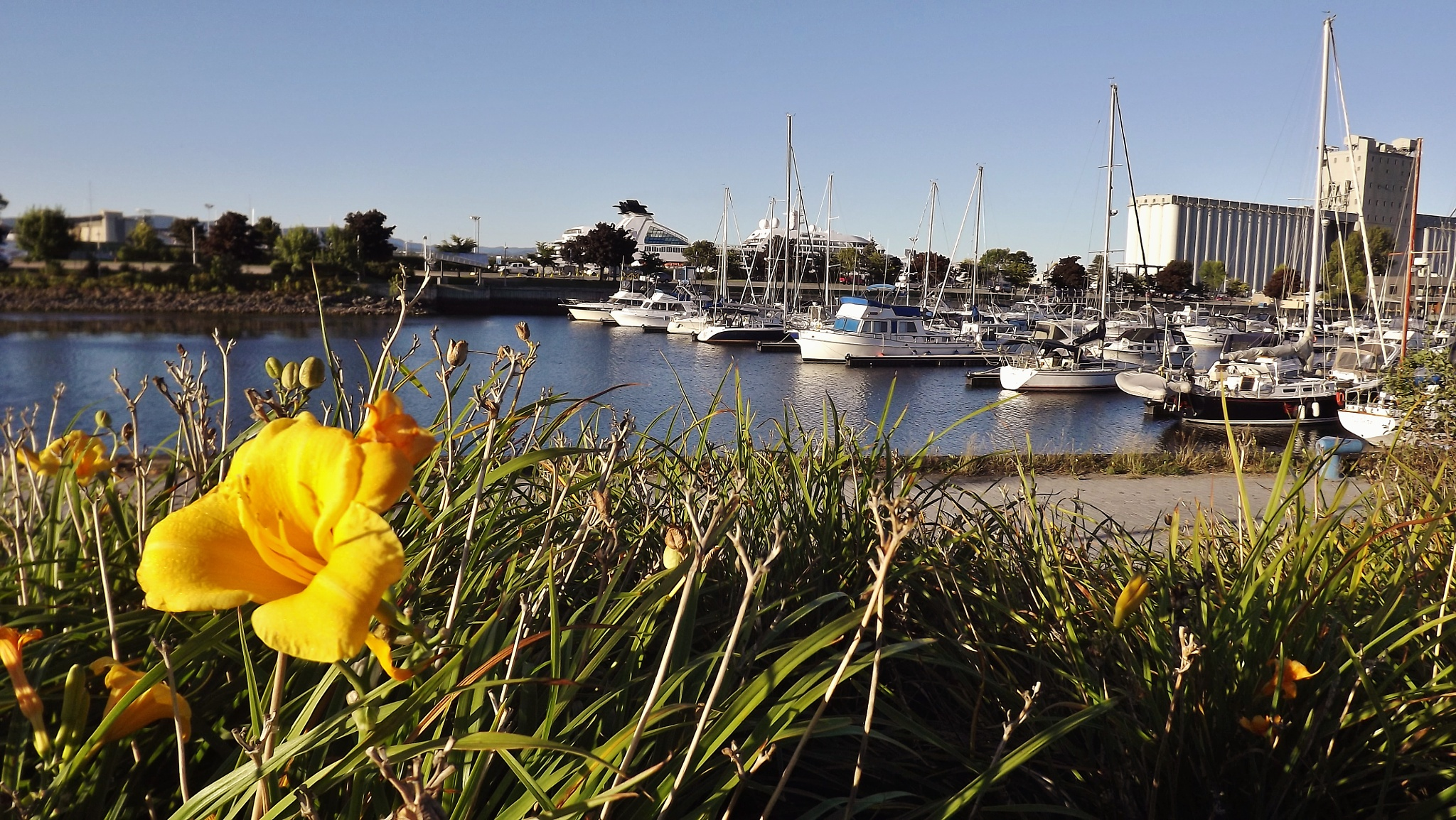 Yellow flower at the marina by real.michaud.5036