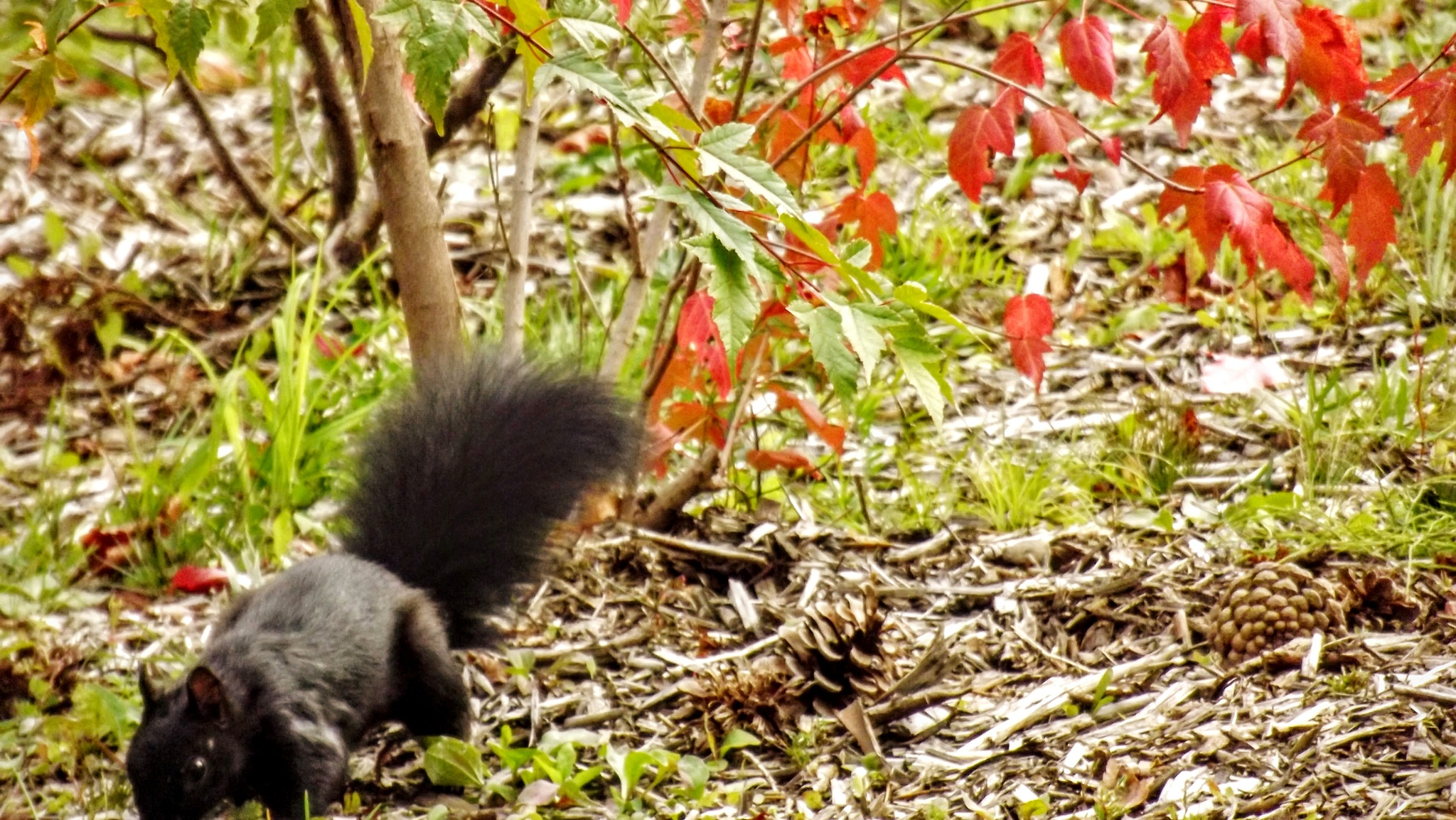 Squirrel autumn time by real.michaud.5036