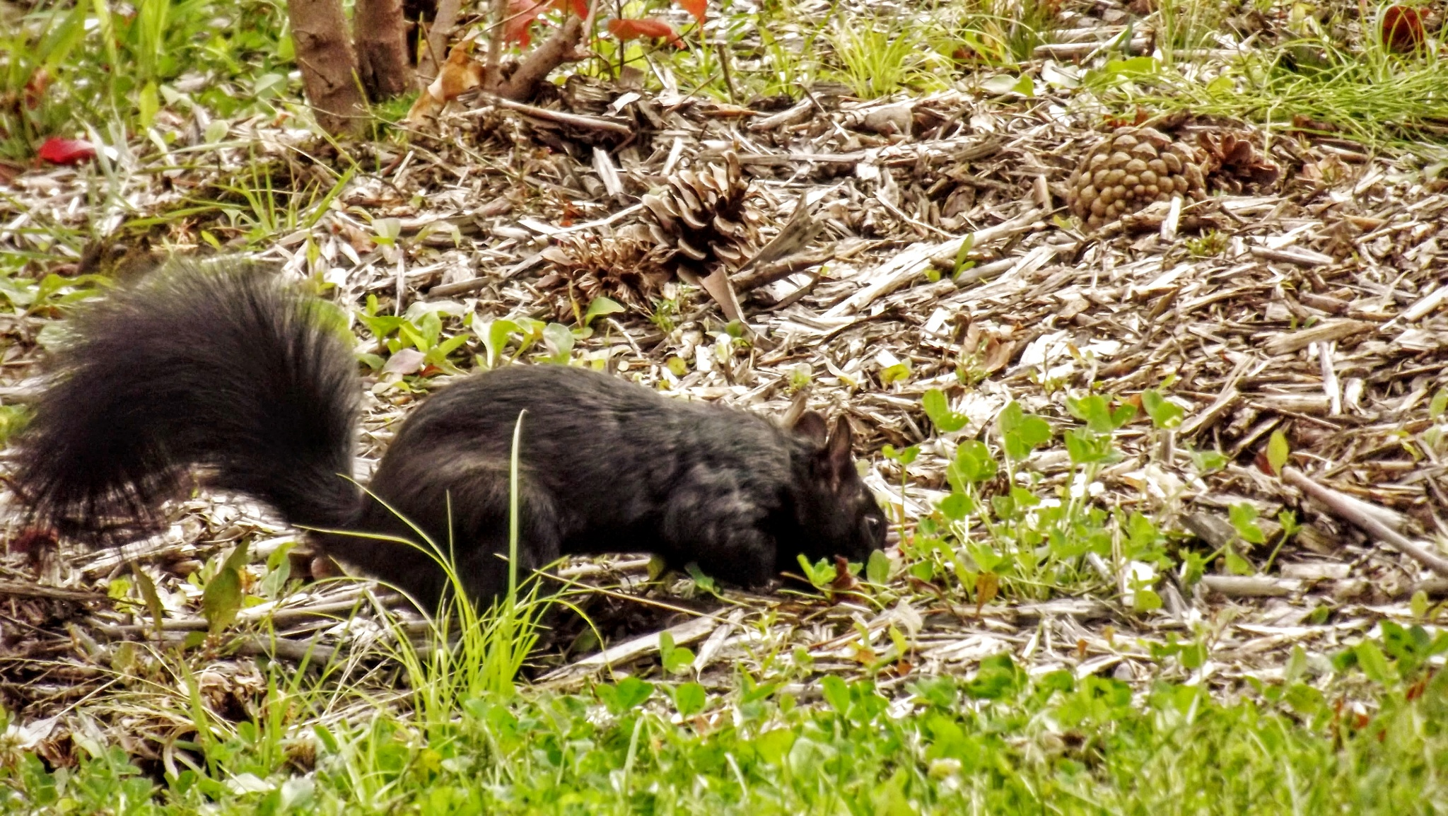 Black squirrel with nose in the ground by real.michaud.5036
