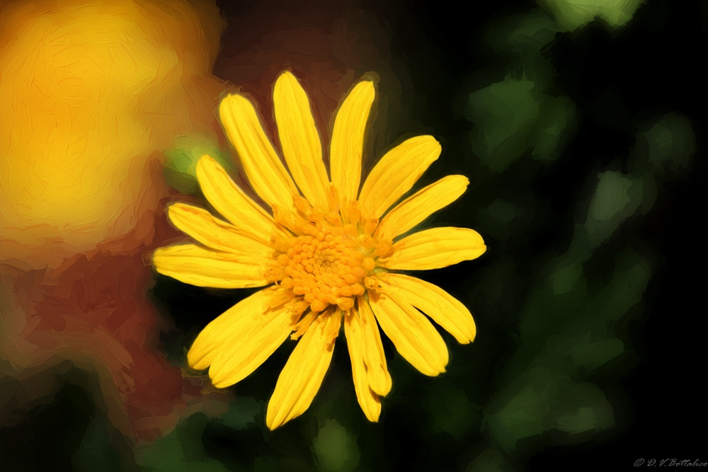 Beach Daisy by Doug Bottalico