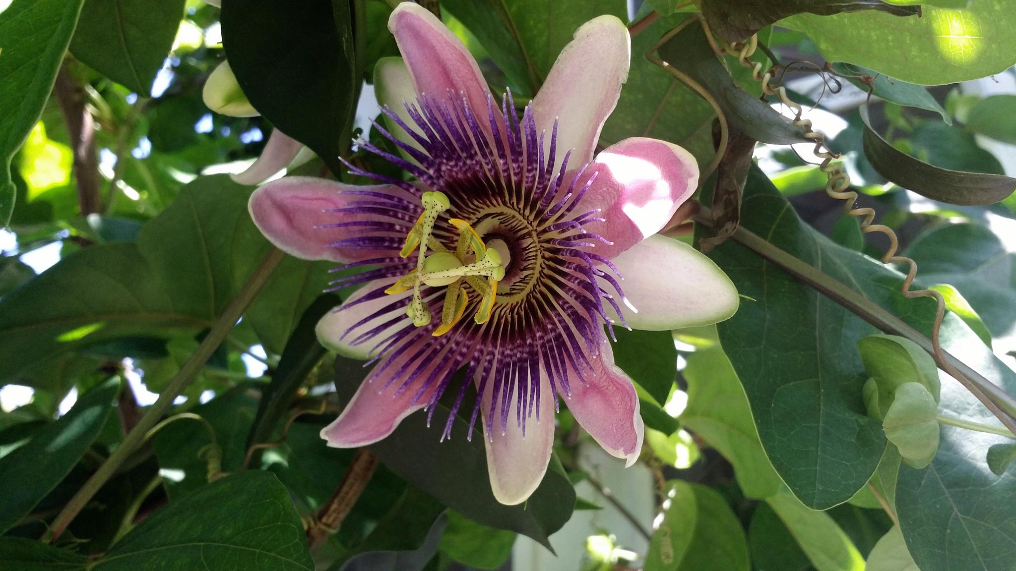 Passion Flower by Doug Bottalico