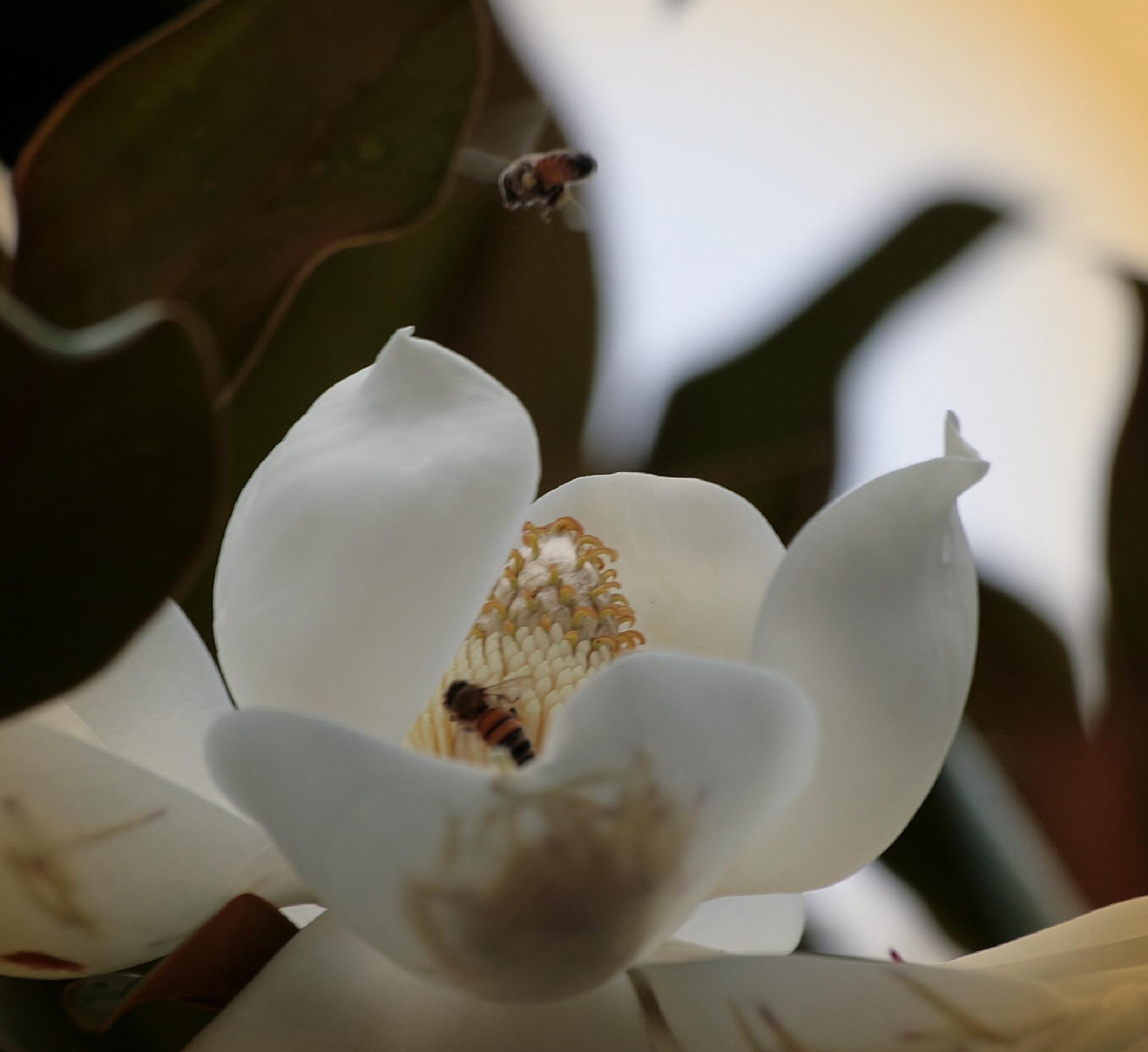 Magnolia by Doug Bottalico