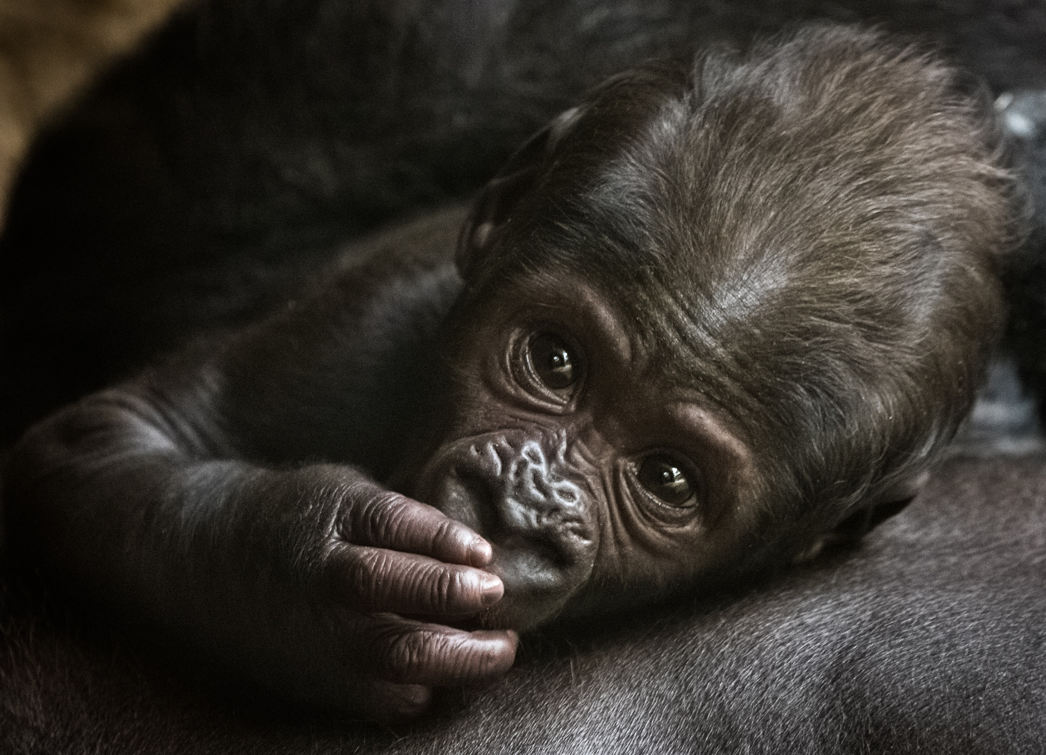 Photo in Animal #gorilla #monkey #animal #zoo #prag #praha #prague #cub