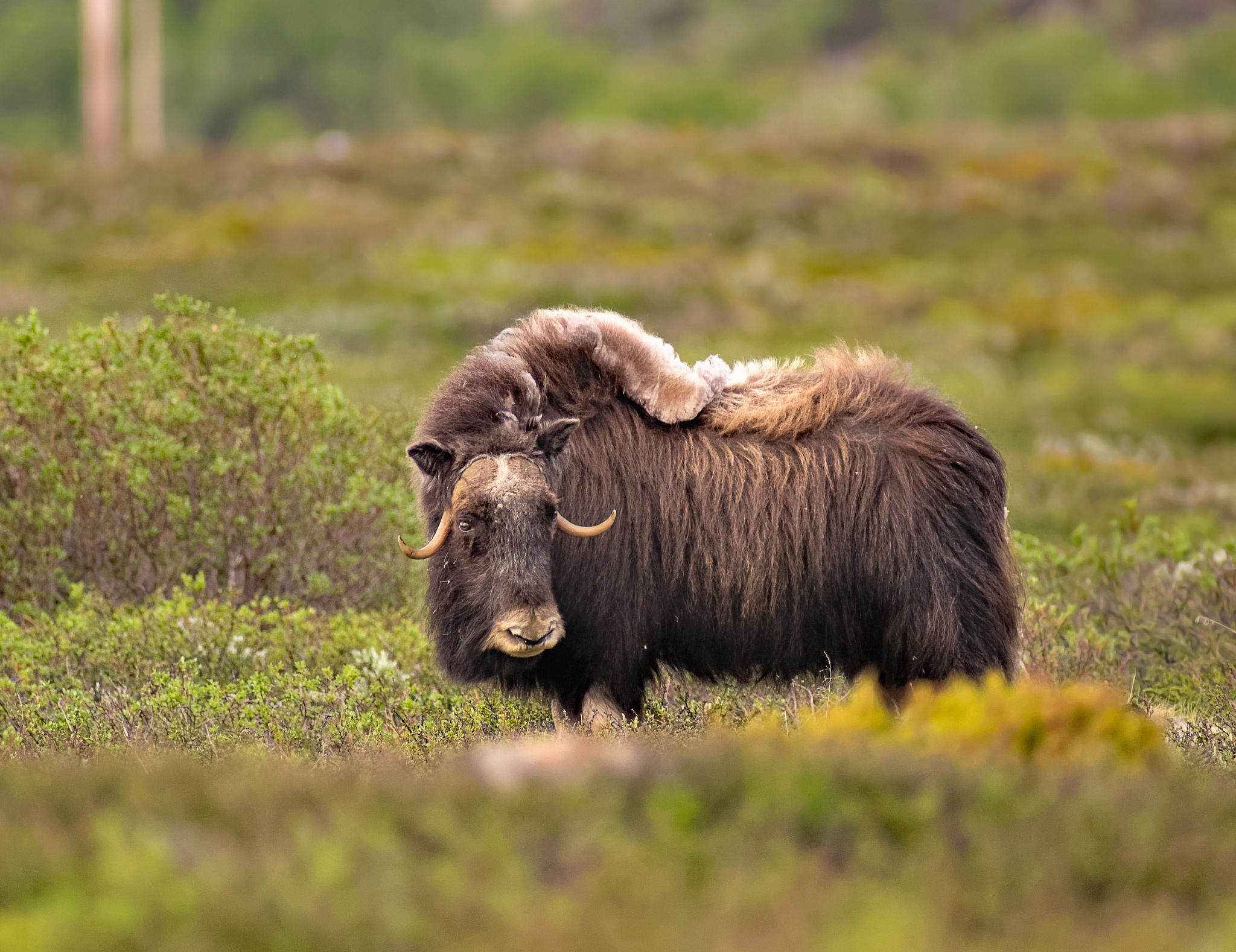 Musk Ox from Norway by ole nørholm
