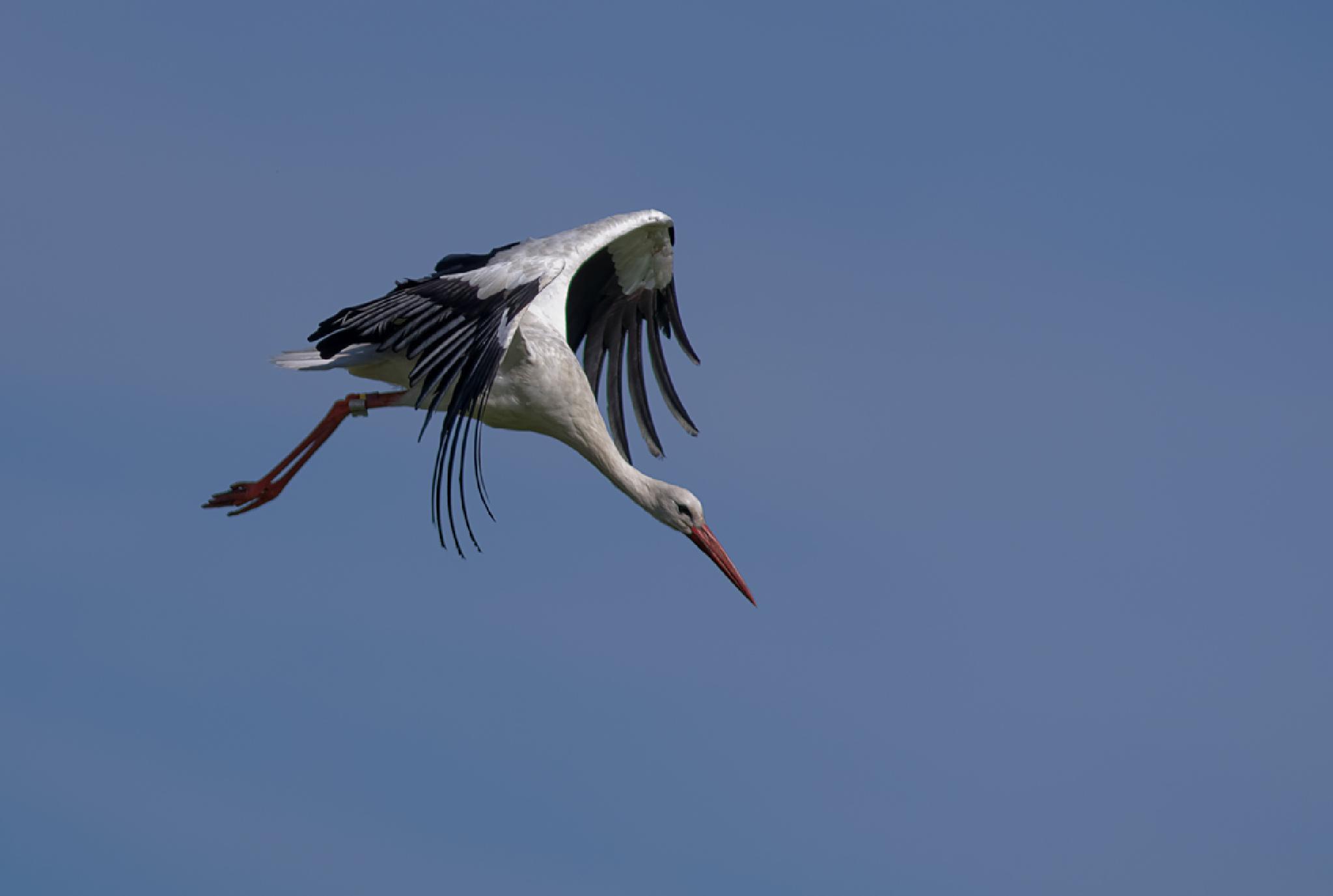 Black Stork by ole nørholm