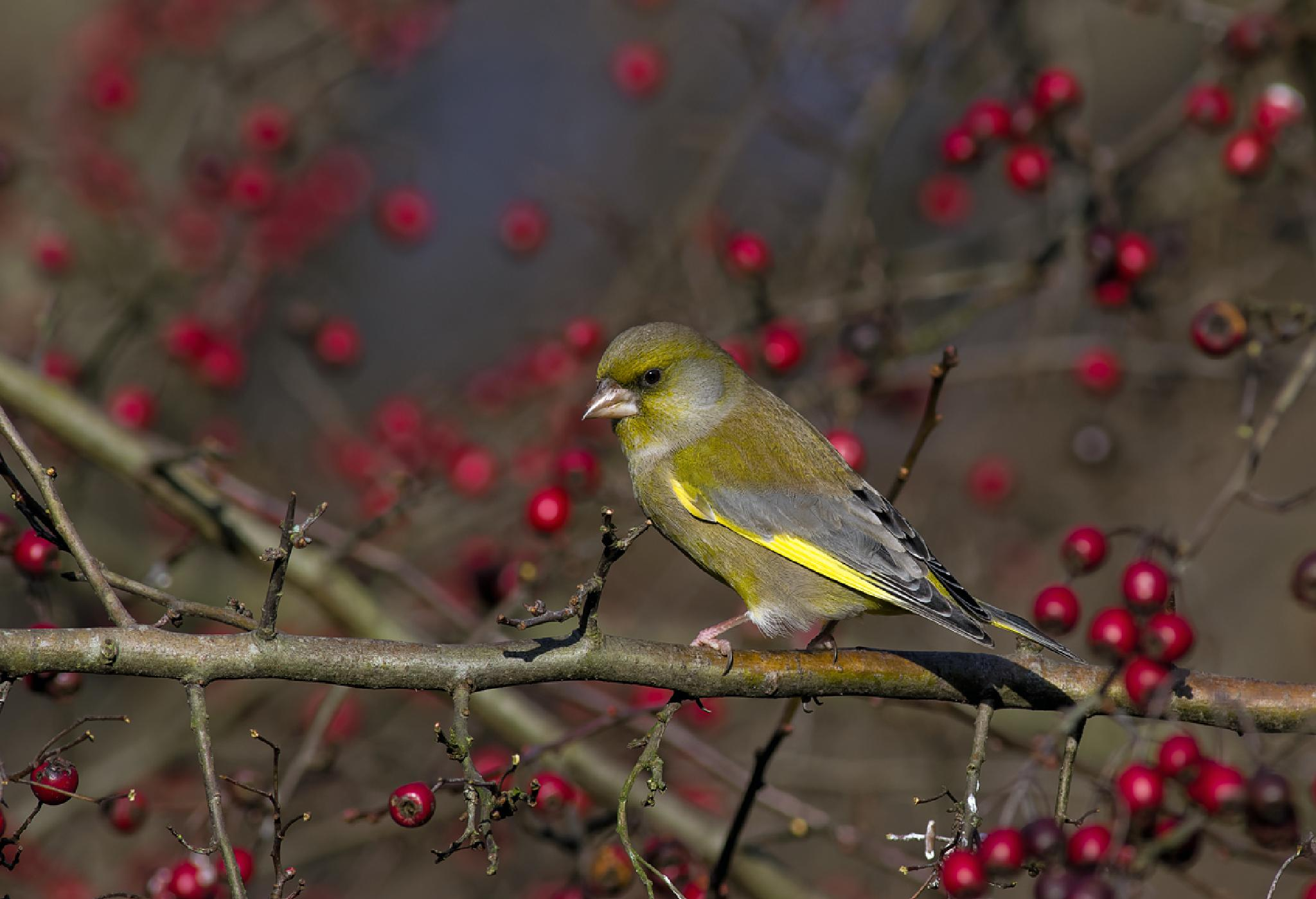 European Greenfinch by ole nørholm