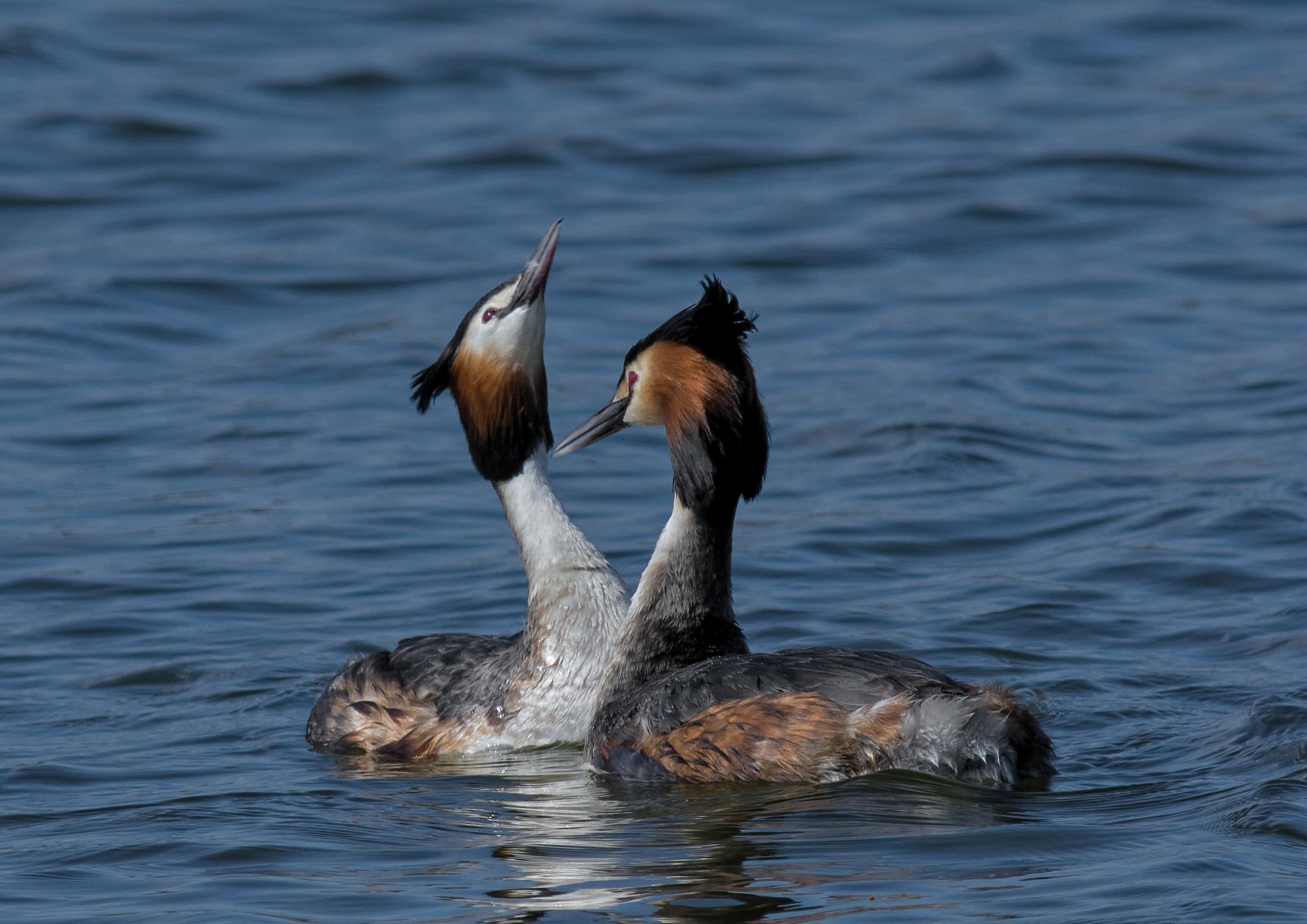 Great crested grebe by ole nørholm