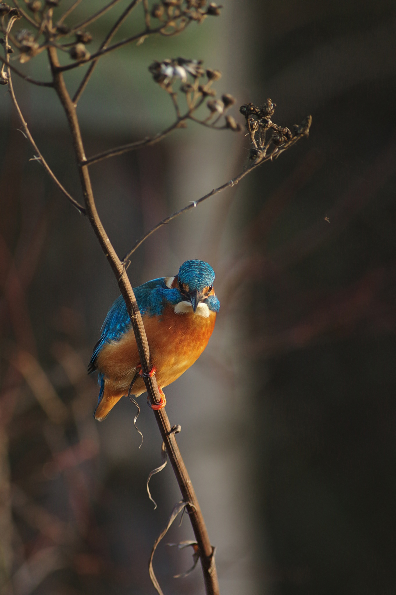 kingfisher by ole nørholm
