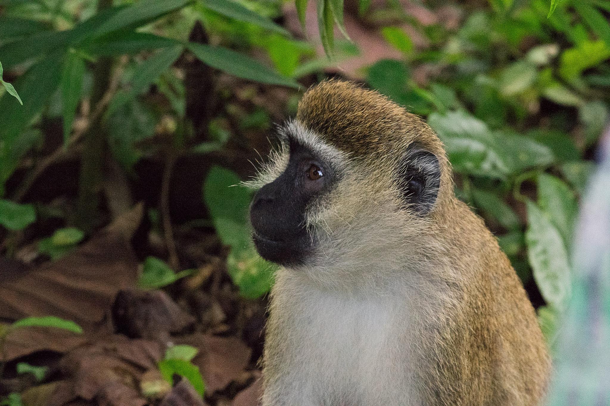 little monkey by ole nørholm