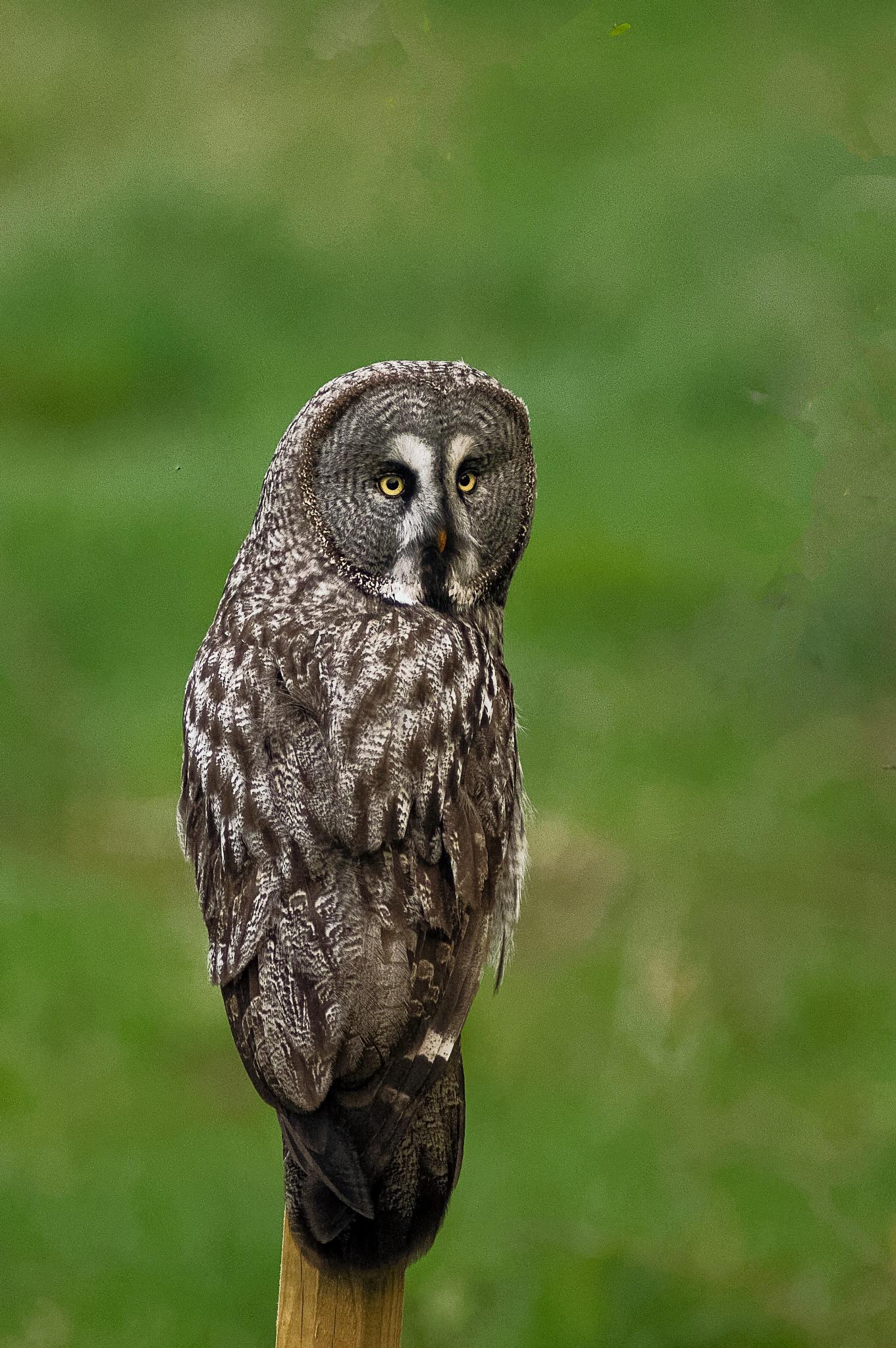great grey owl by ole nørholm