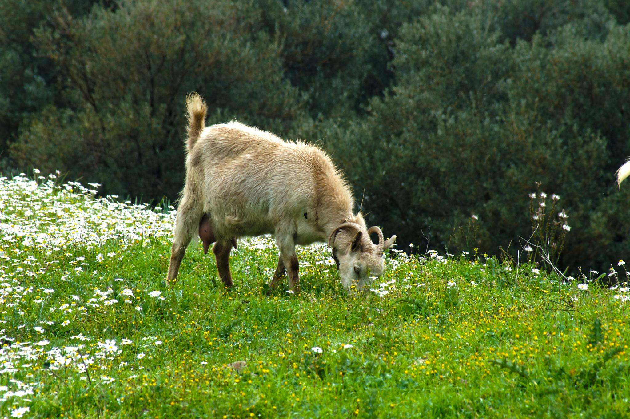 Goat milk by Blackhawk
