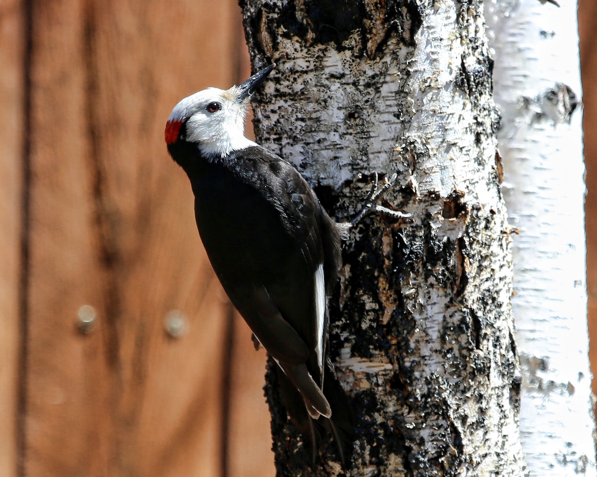 Woodpecker  by Janet Aguila Krause
