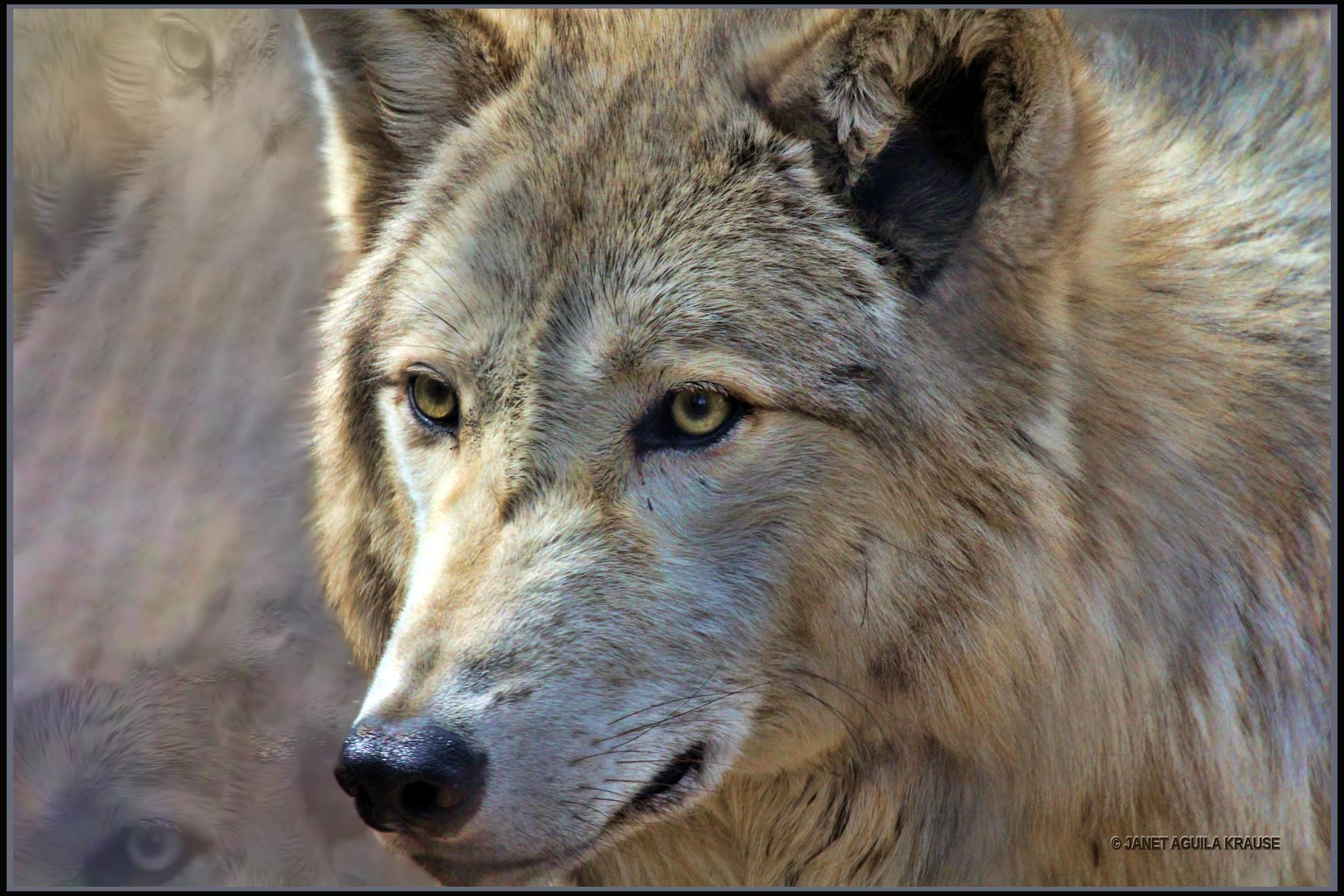 Timber Wolf by Janet Aguila Krause