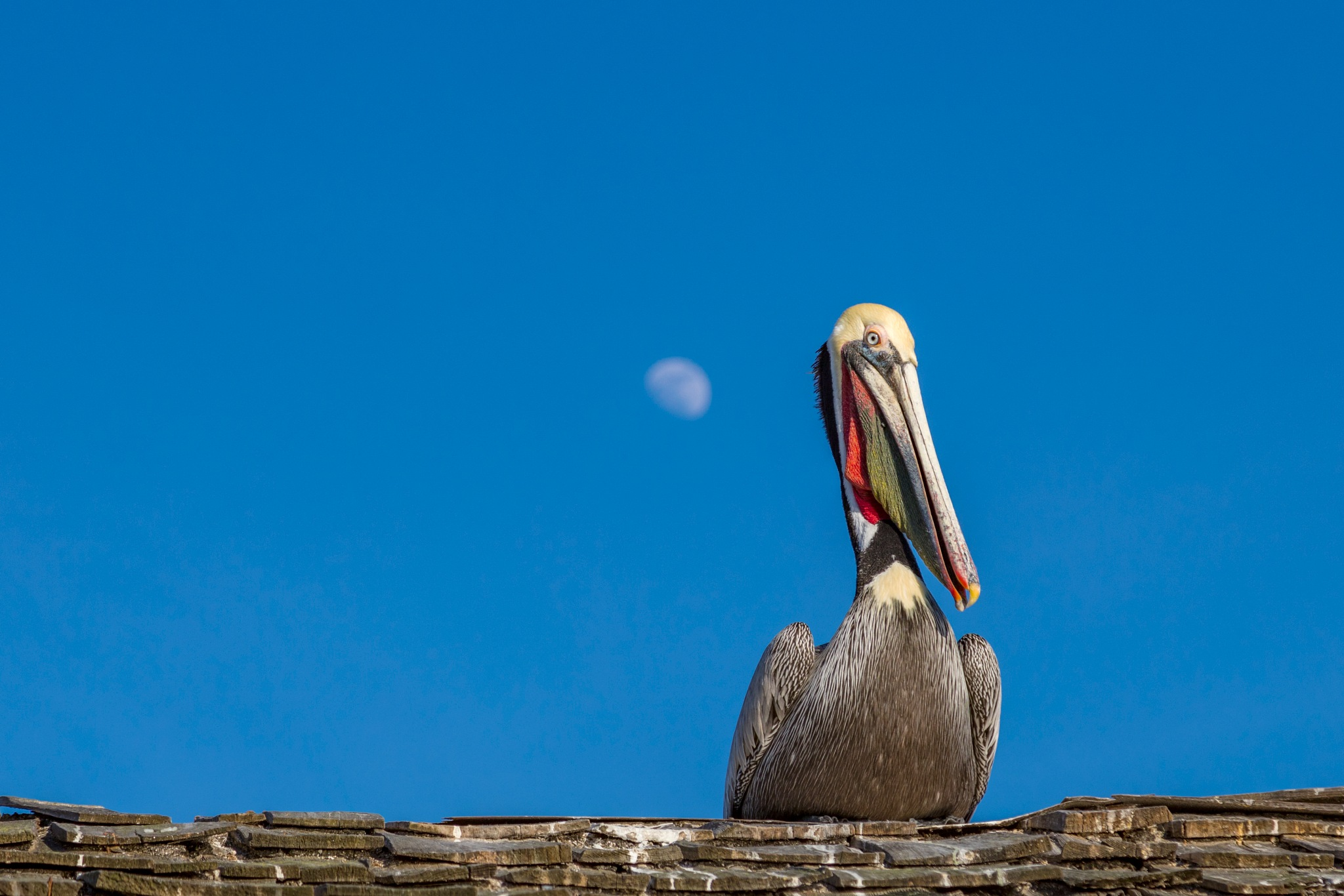 Brown Pelican on a roof  by Janet Aguila Krause