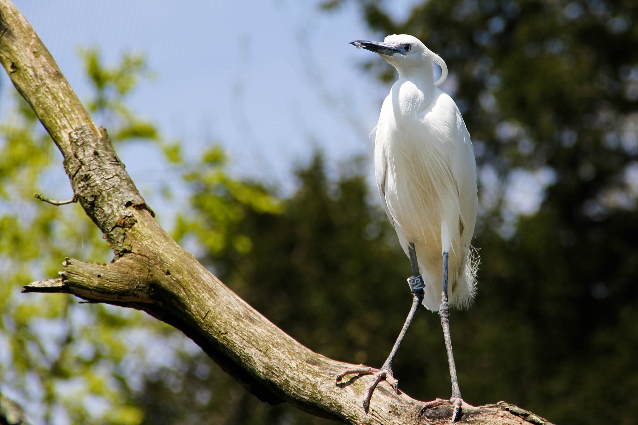 Little egret by Peggy Berger