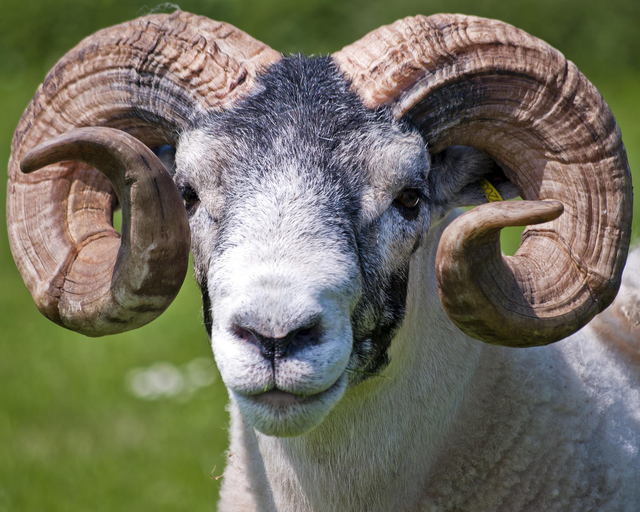 Goat by Hailceaser