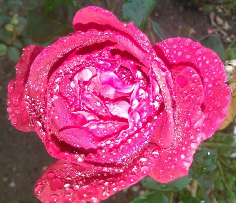 Red rose 4 U  by karlerik.straarup