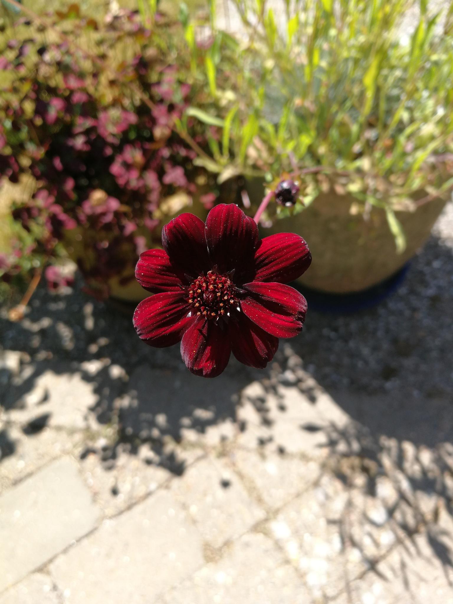 garden flower  by karlerik.straarup
