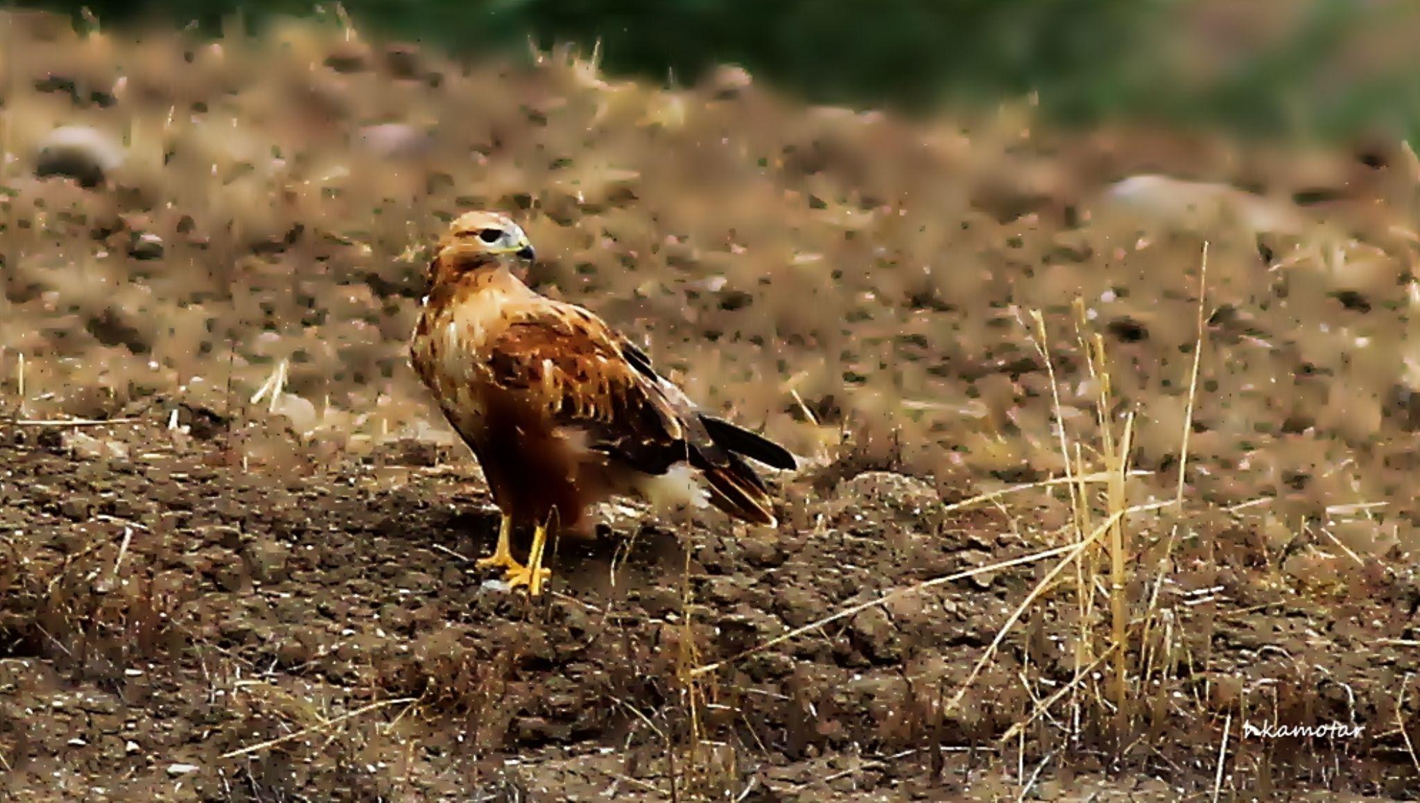 Kızıl şahin » Buteo rufinus » Long-legged buzzard by harun