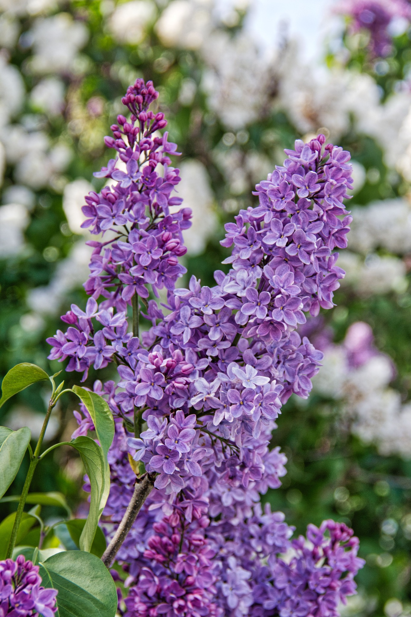 Lilacs by Rob
