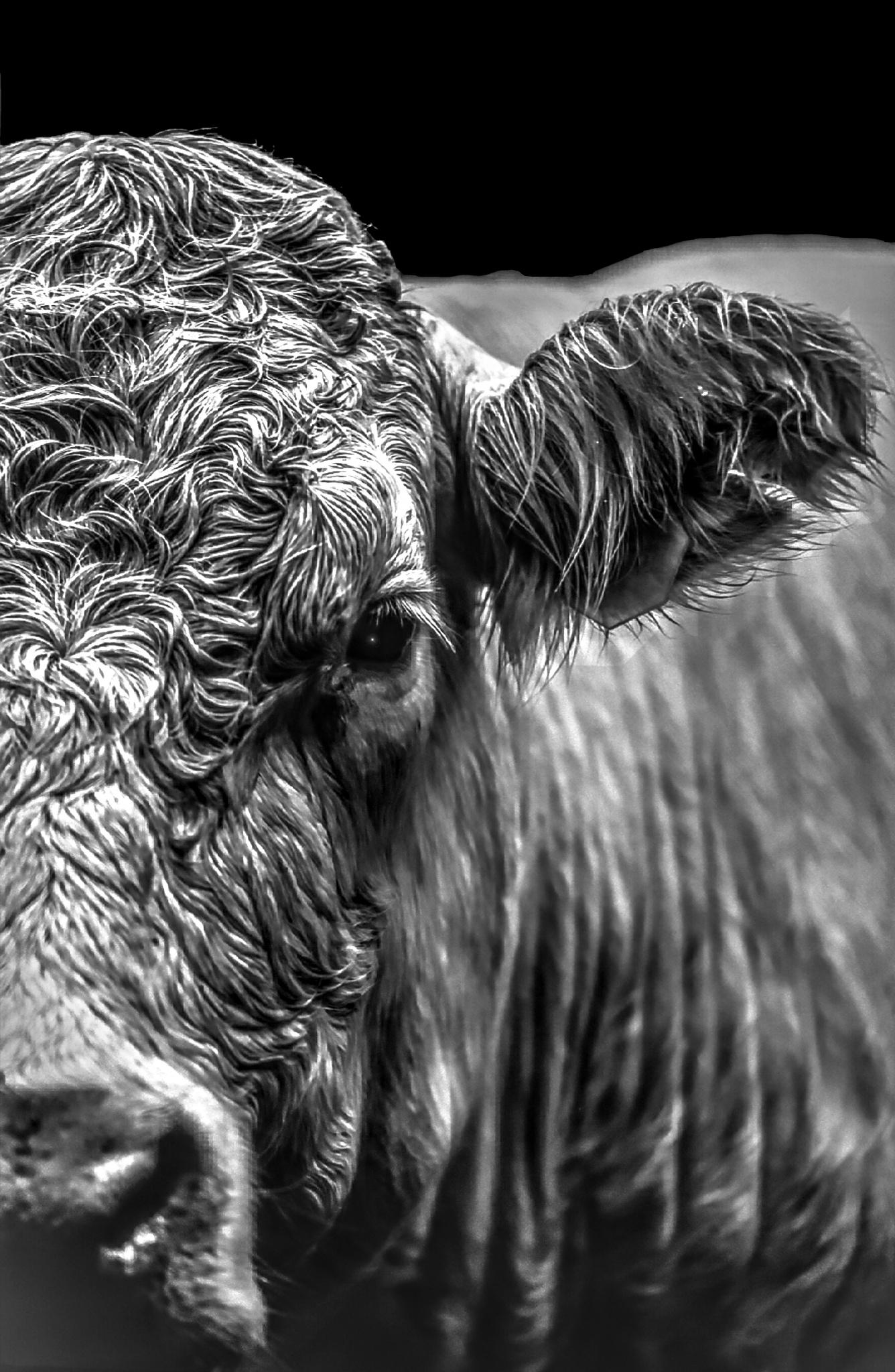 [ wet cow ] bw by Jan Degen