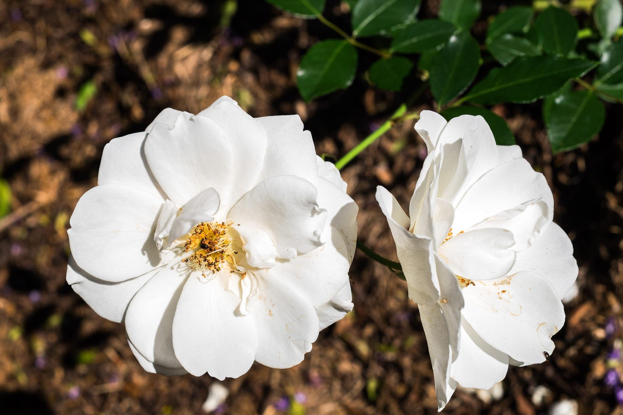 White Roses.... Purity! by ensbassatt