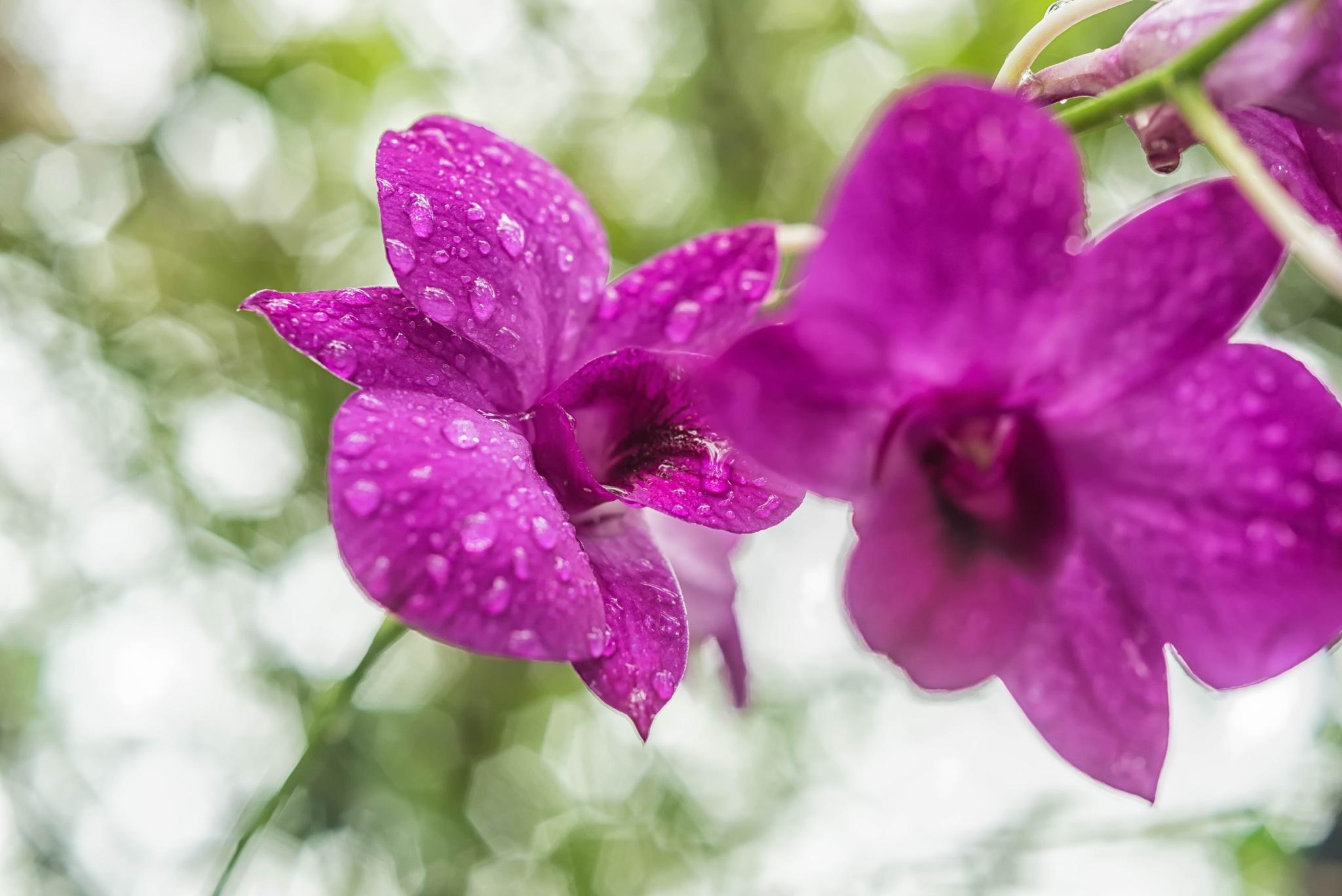 After Rain, Wild Orchids. by ensbassatt