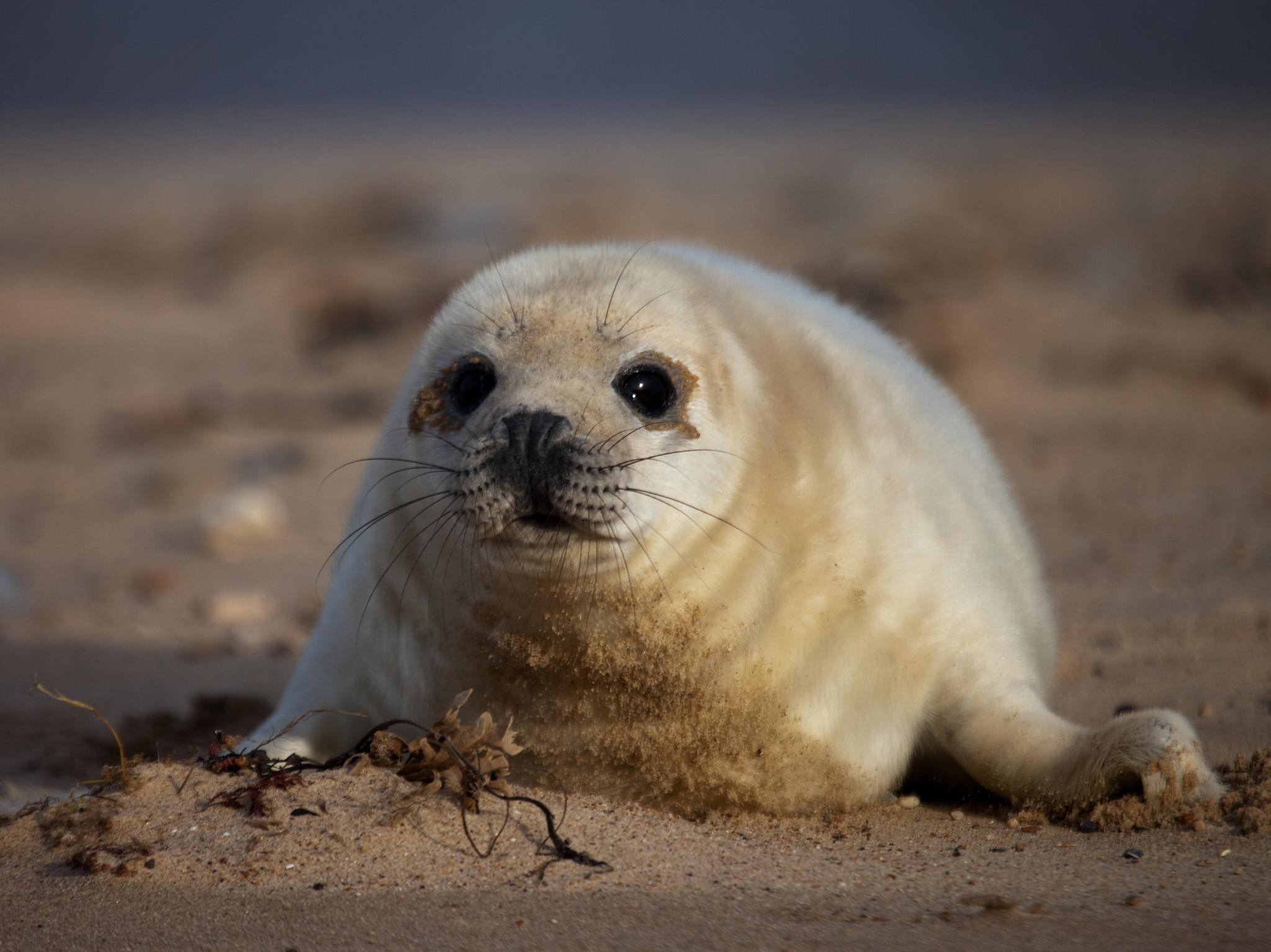 Grey Seal Pup at Horsey. by stevenboyce37