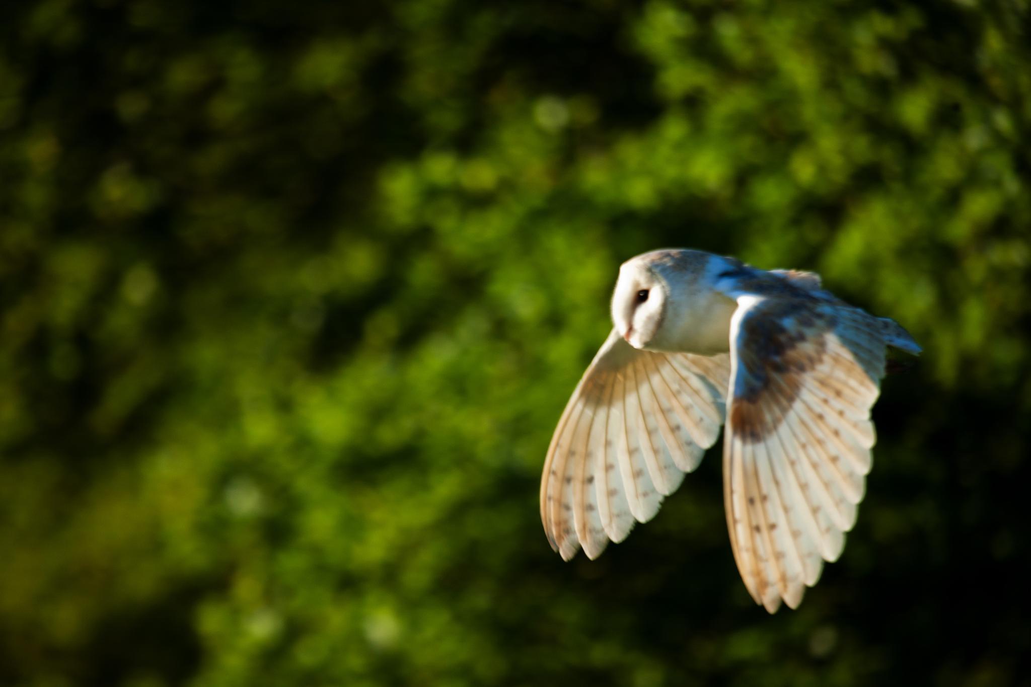 Barn Owl in Suffolk by stevenboyce37
