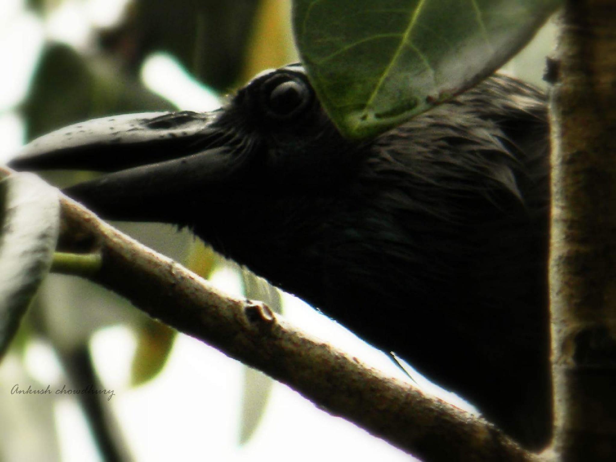Even crows catch eyes in rain... by Subhankar Chowdhury Ankush