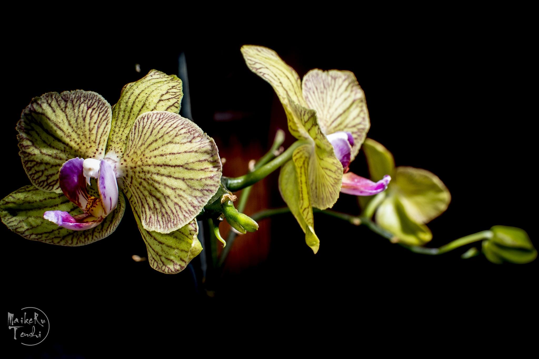 Orquideal... by Maikeru Tenshi