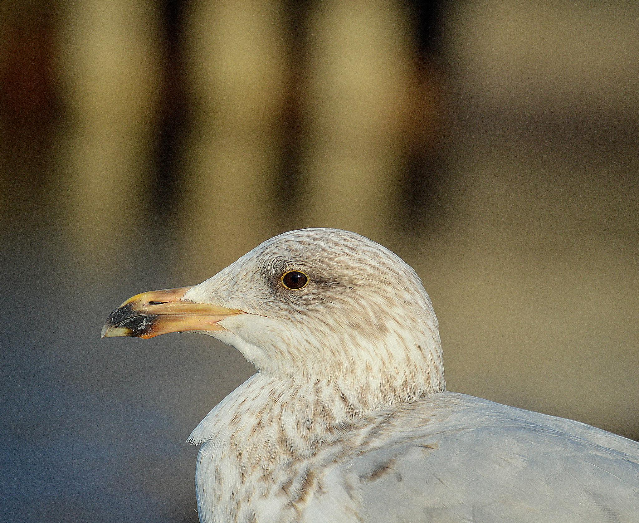 Portrait of a Sea Gull by James Bullis-King
