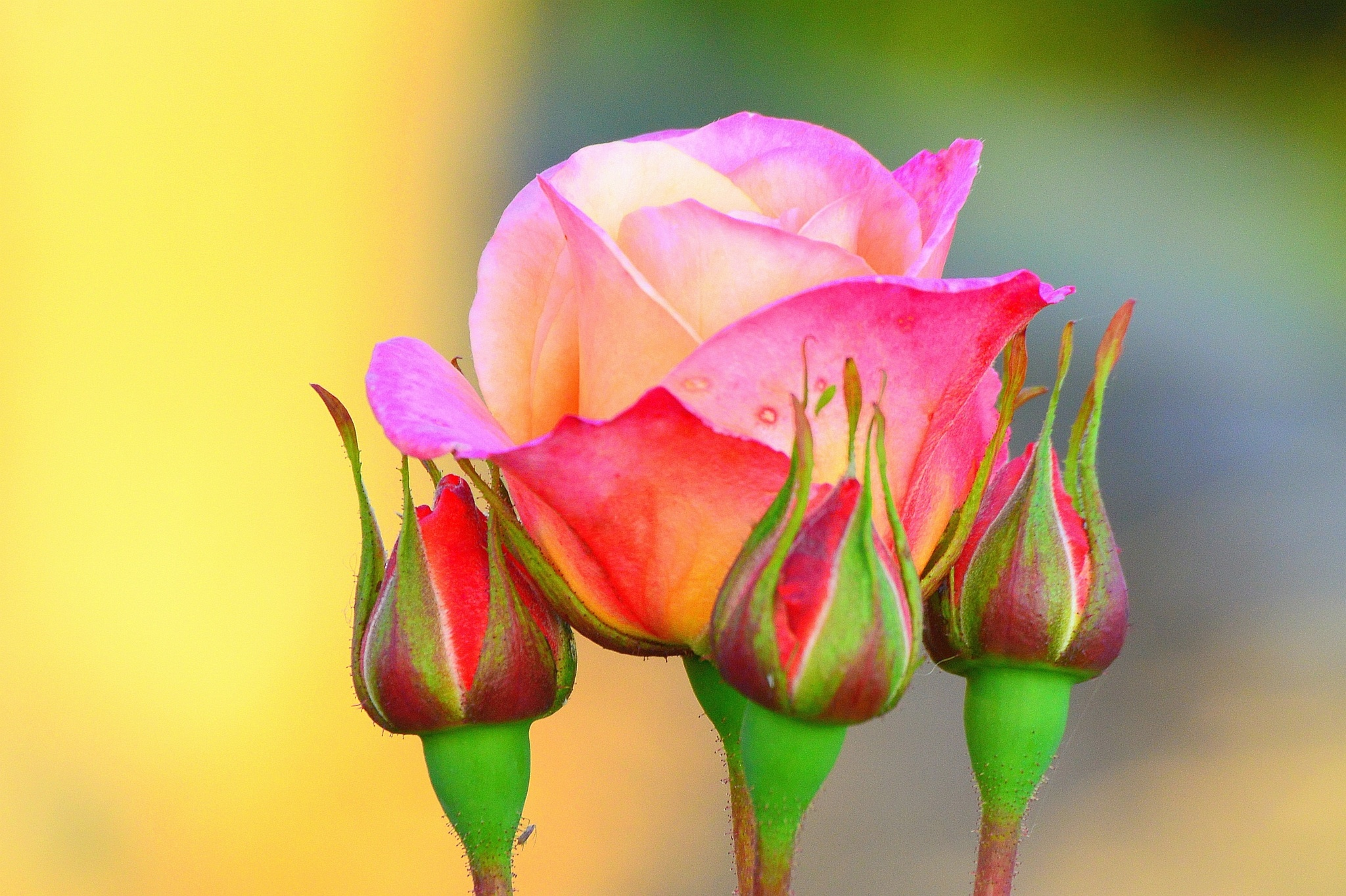 Rose and Buds by James Bullis-King
